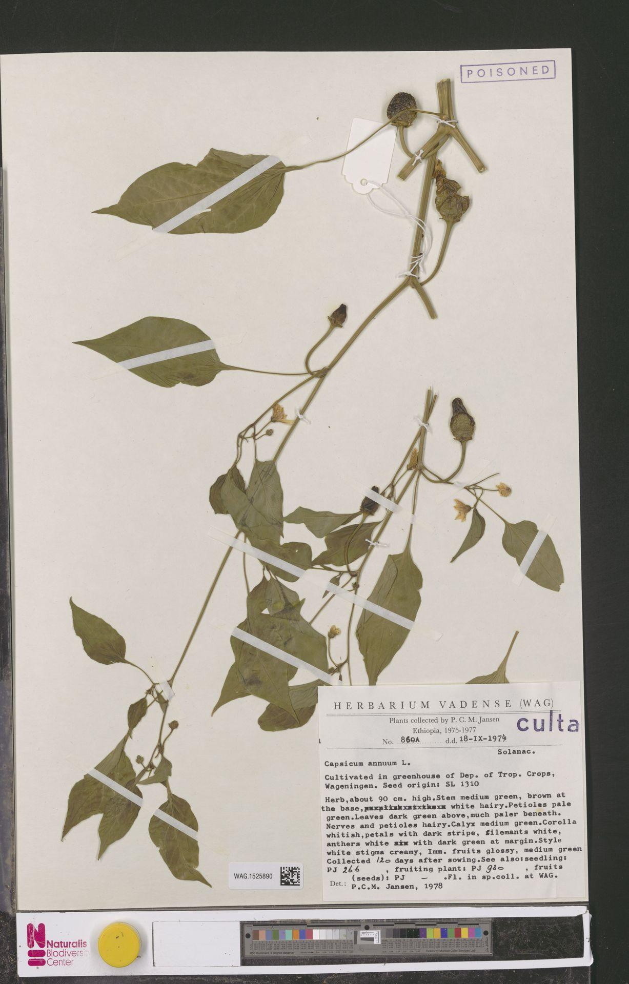 WAG.1525890 | Capsicum annuum L.