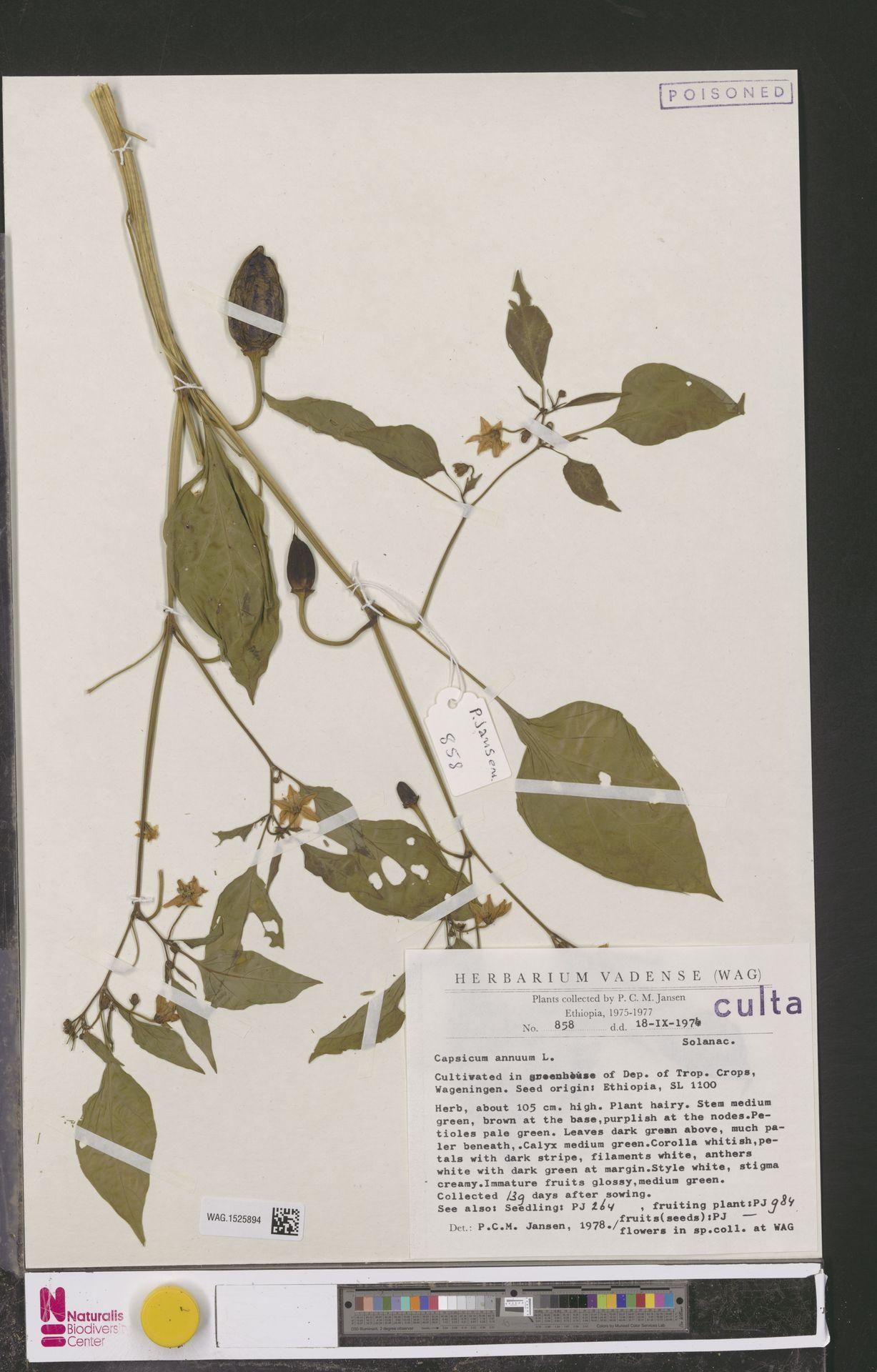 WAG.1525894 | Capsicum annuum L.