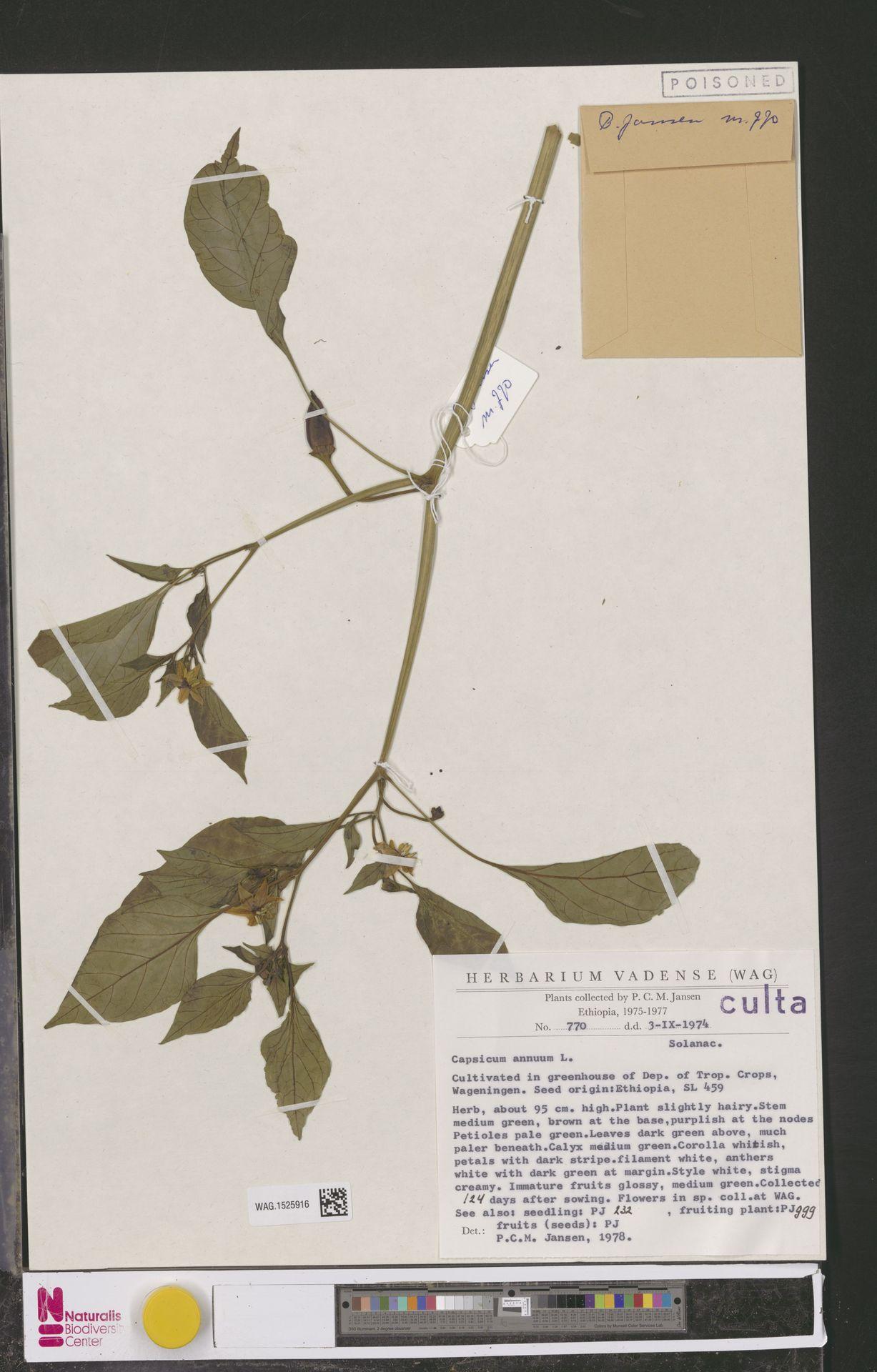 WAG.1525916   Capsicum annuum L.