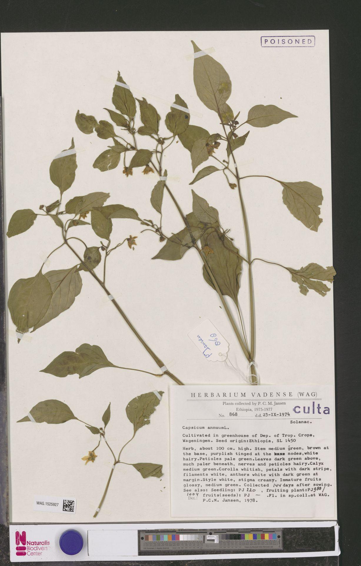 WAG.1525927 | Capsicum annuum L.