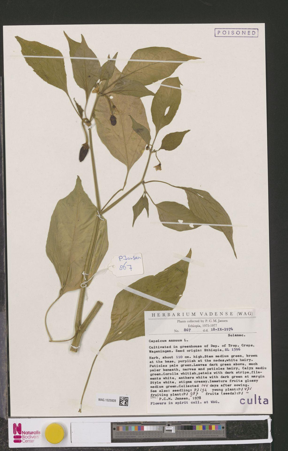 WAG.1525928 | Capsicum annuum L.