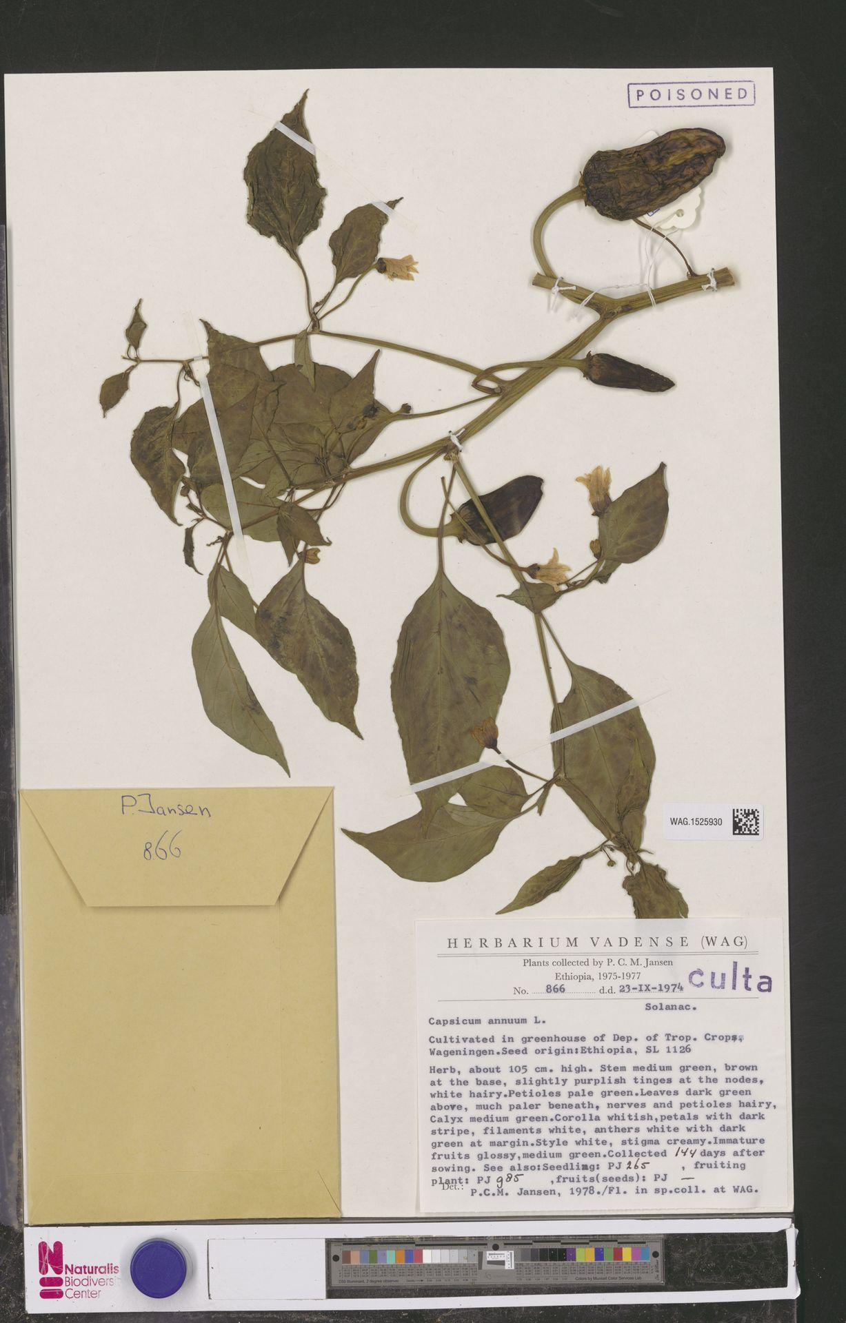WAG.1525930 | Capsicum annuum L.