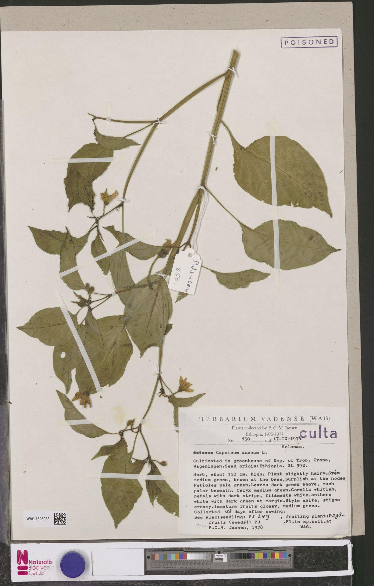 WAG.1525933 | Capsicum annuum L.