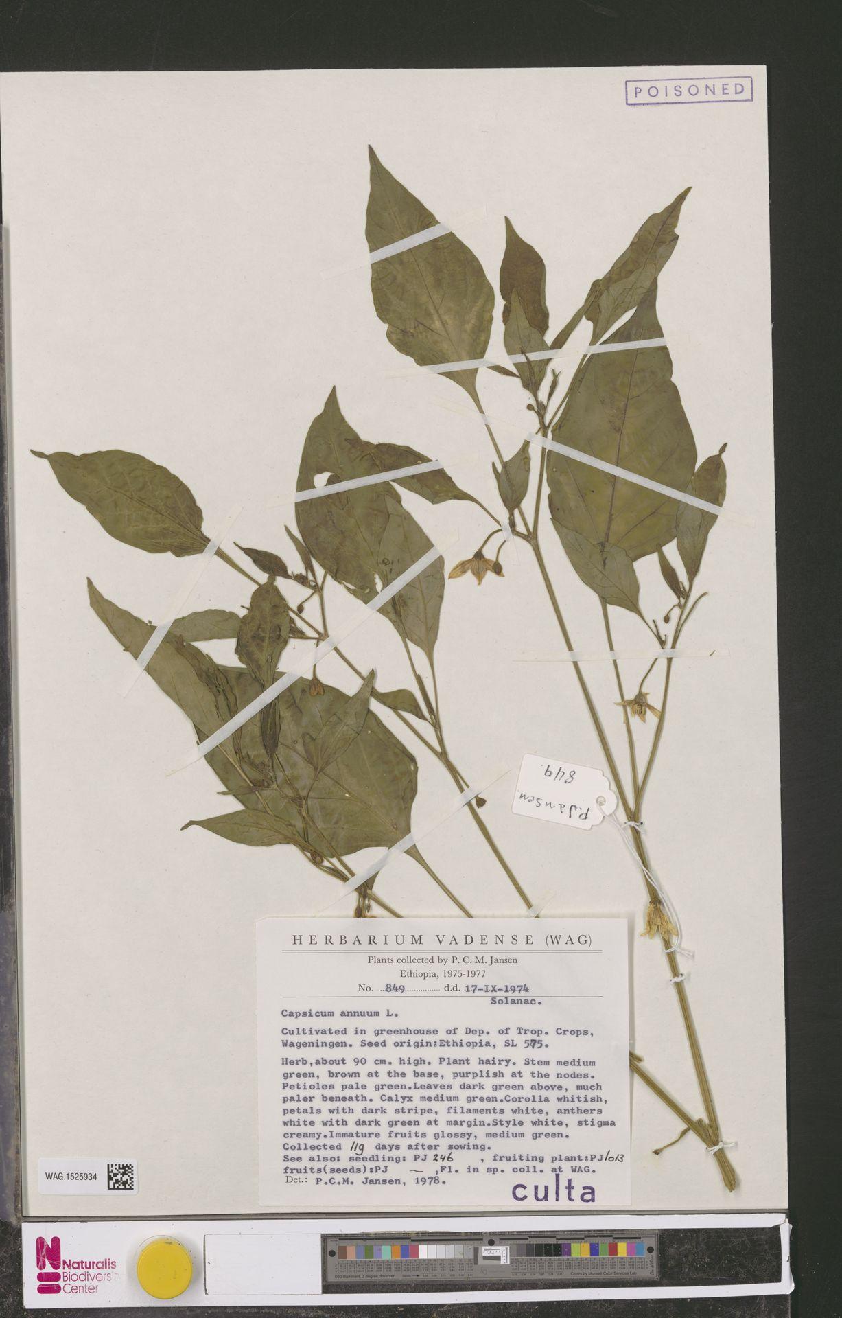 WAG.1525934 | Capsicum annuum L.