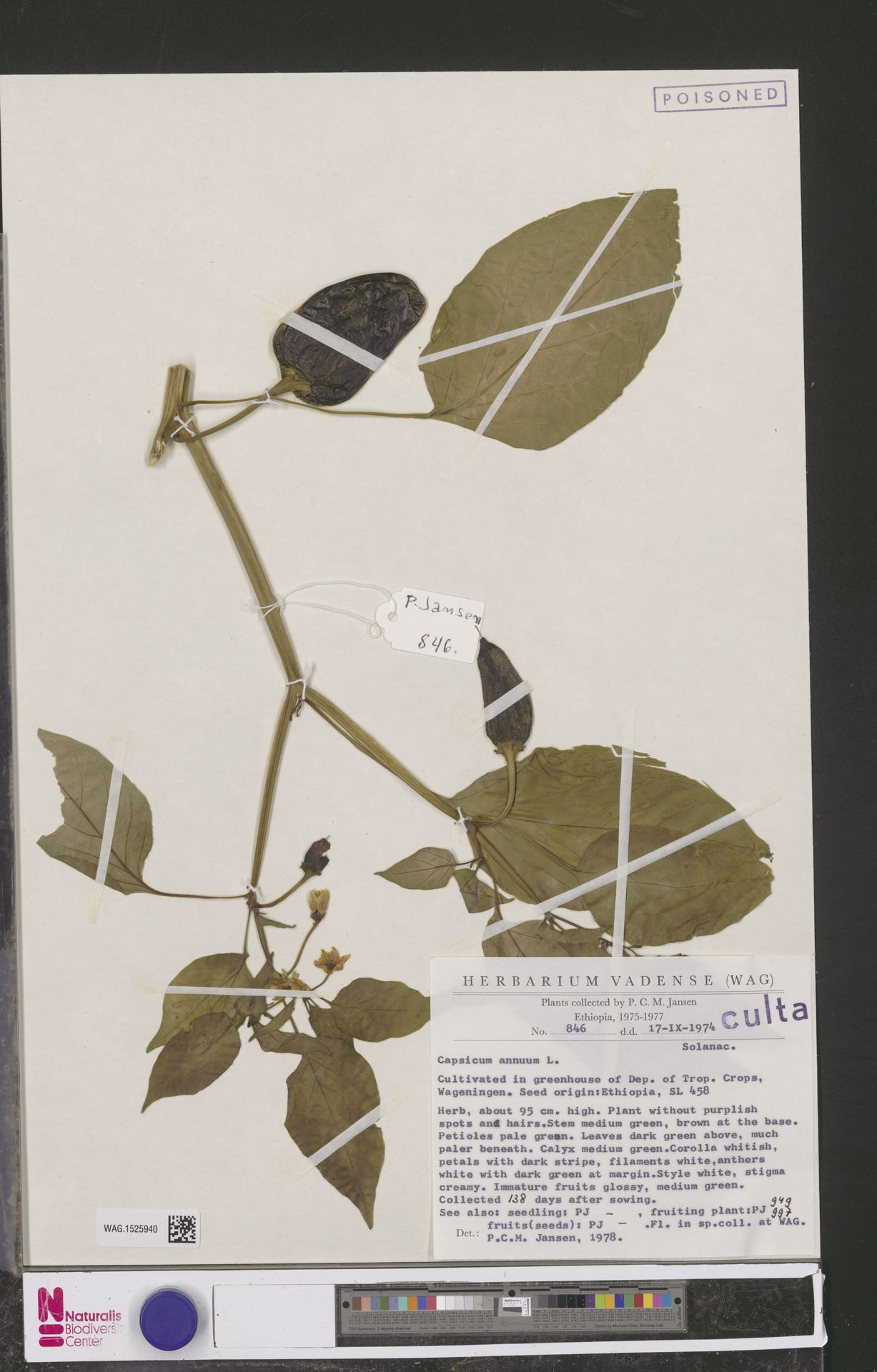 WAG.1525940 | Capsicum annuum L.