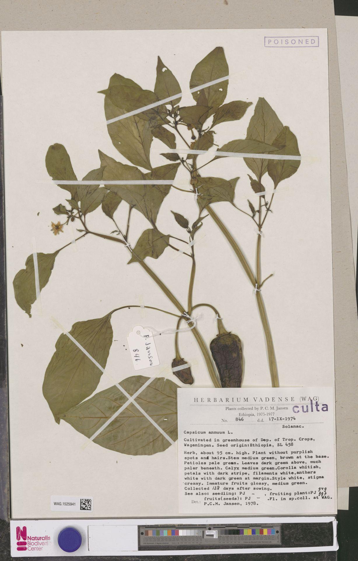 WAG.1525941 | Capsicum annuum L.