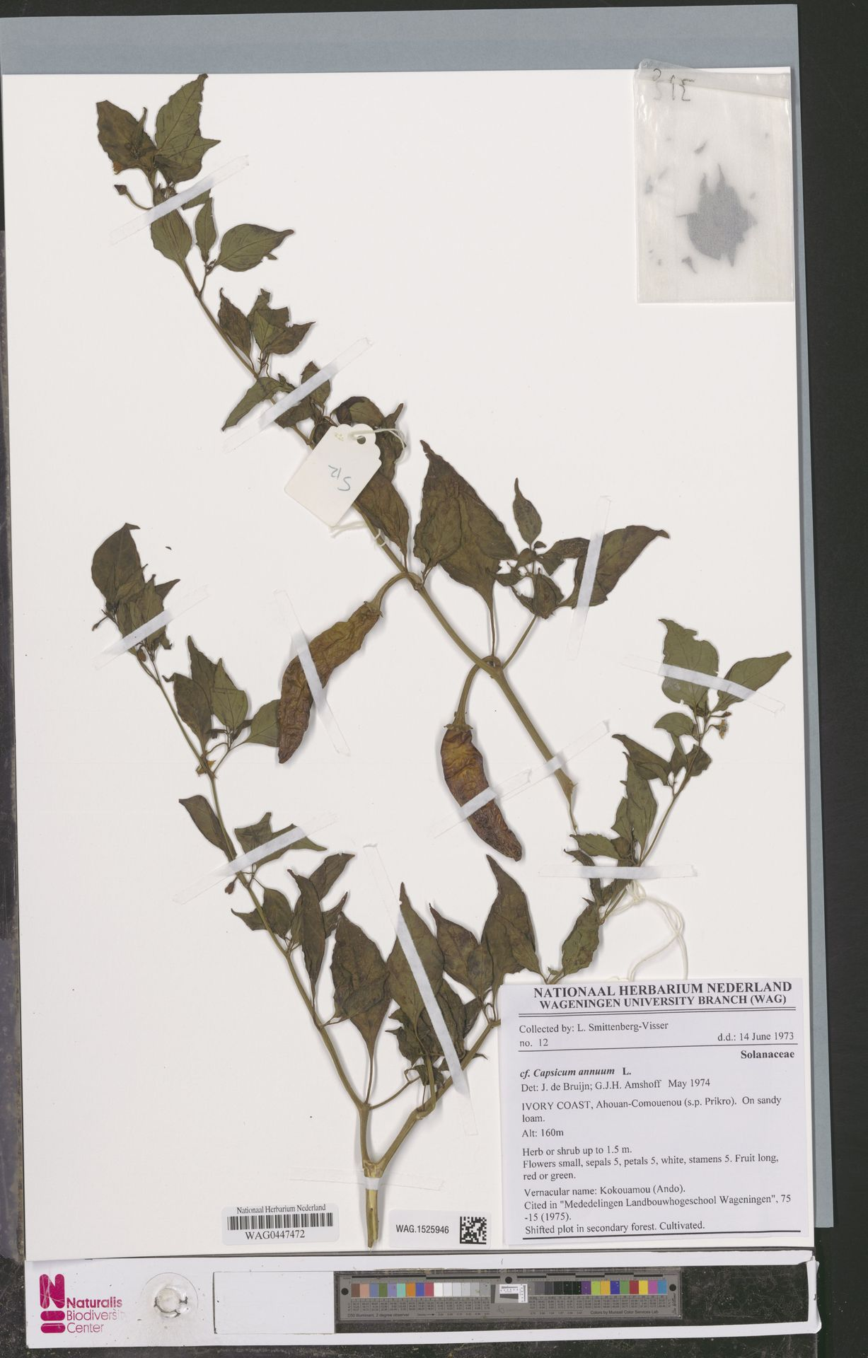 WAG.1525946 | Capsicum annuum L.