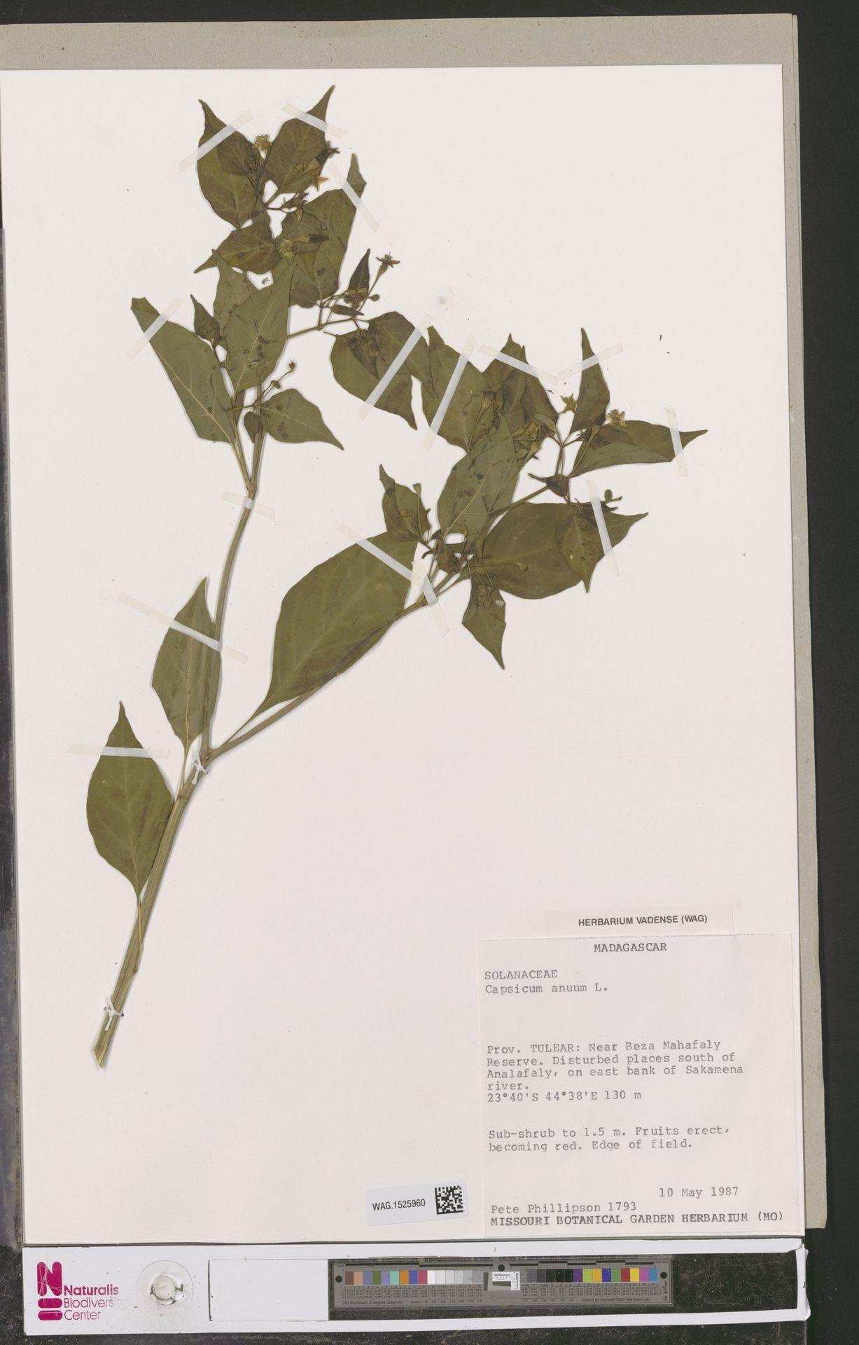 WAG.1525960 | Capsicum annuum L.
