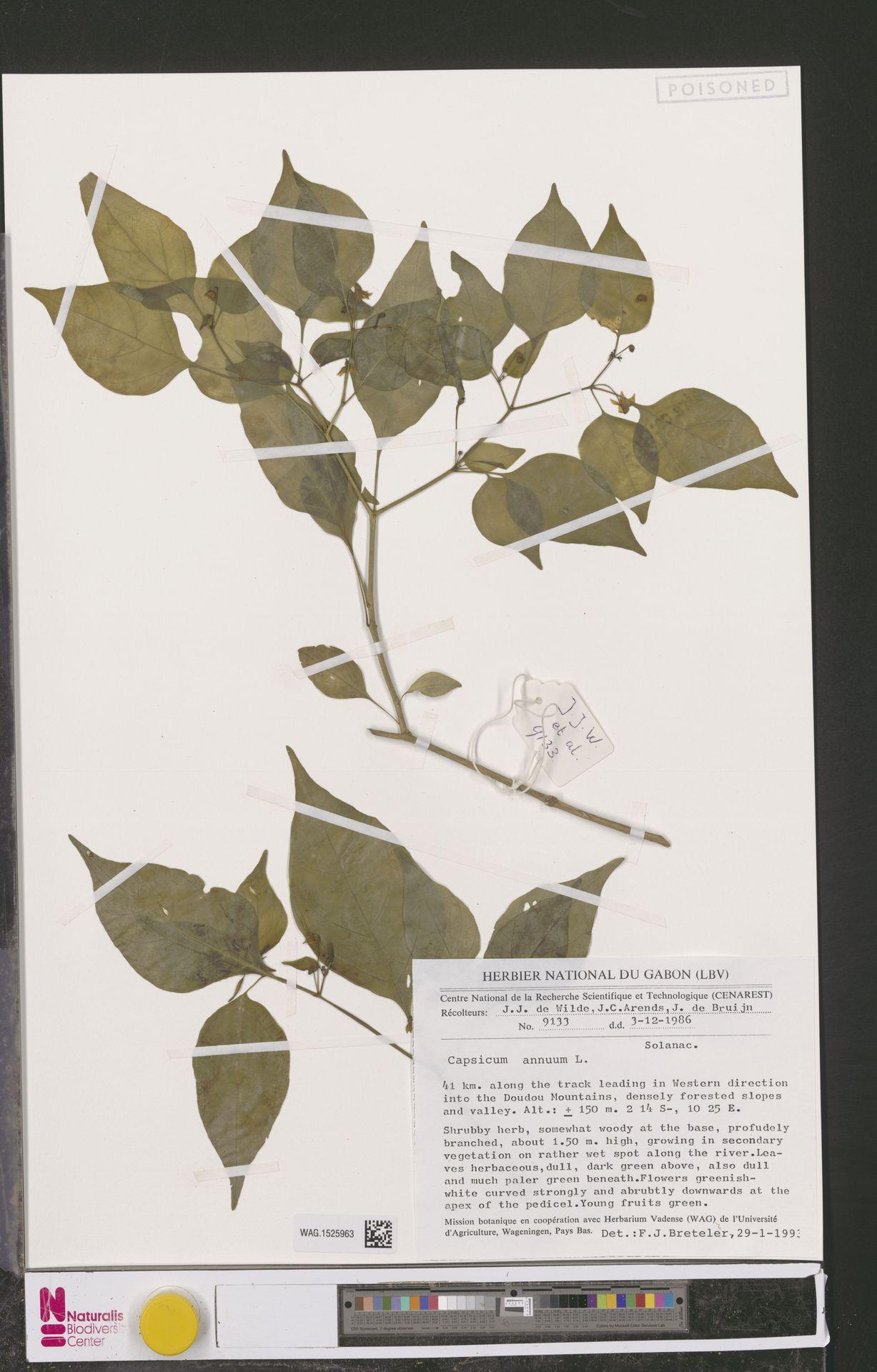 WAG.1525963 | Capsicum annuum L.