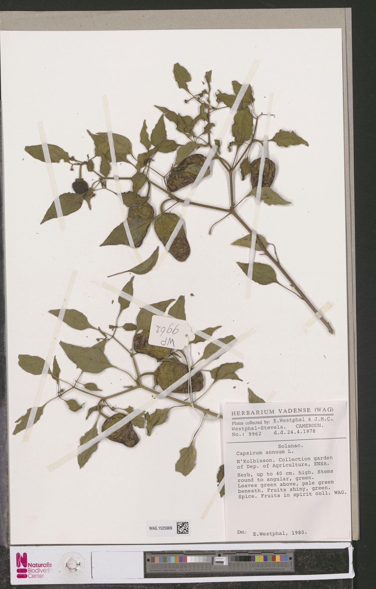 WAG.1525969 | Capsicum annuum L.