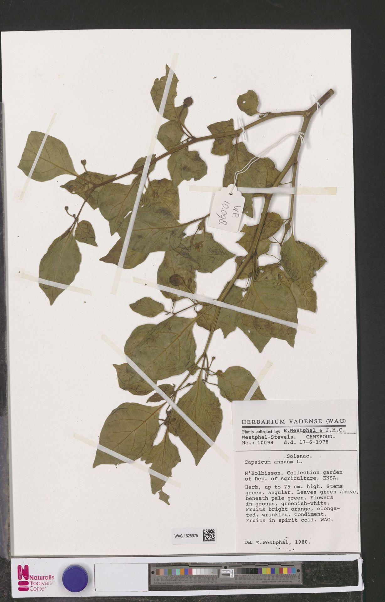 WAG.1525975 | Capsicum annuum L.