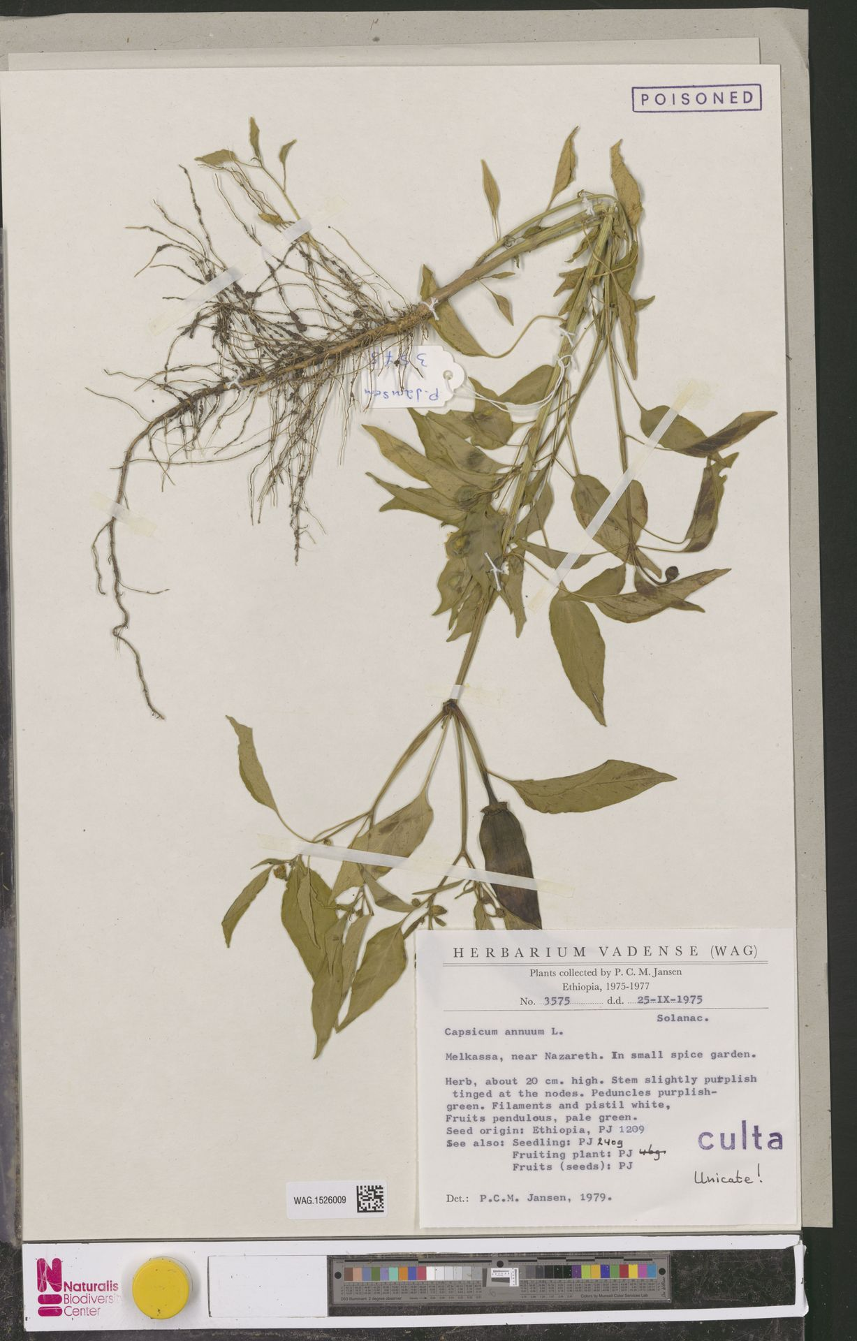 WAG.1526009 | Capsicum annuum L.