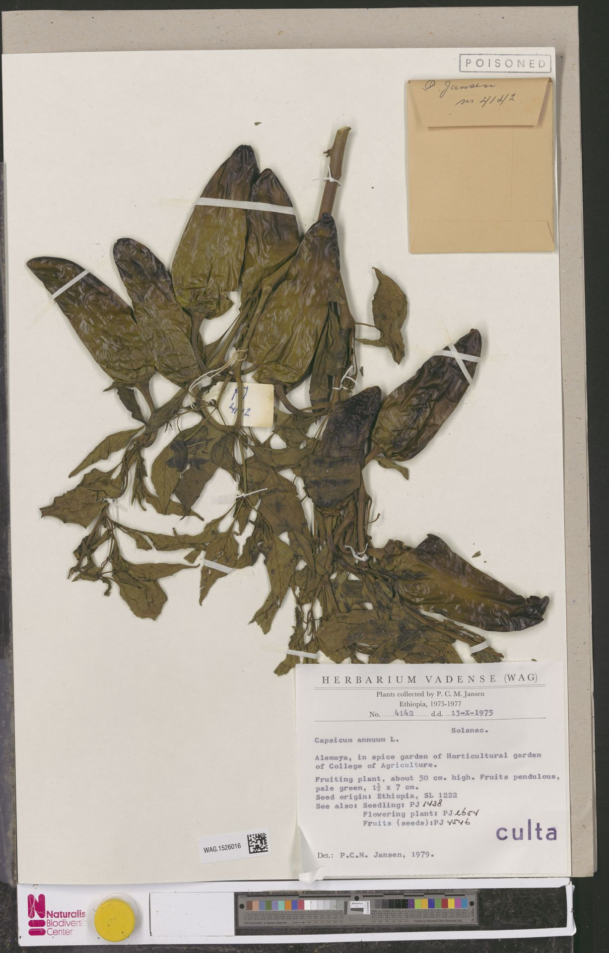 WAG.1526016 | Capsicum annuum L.