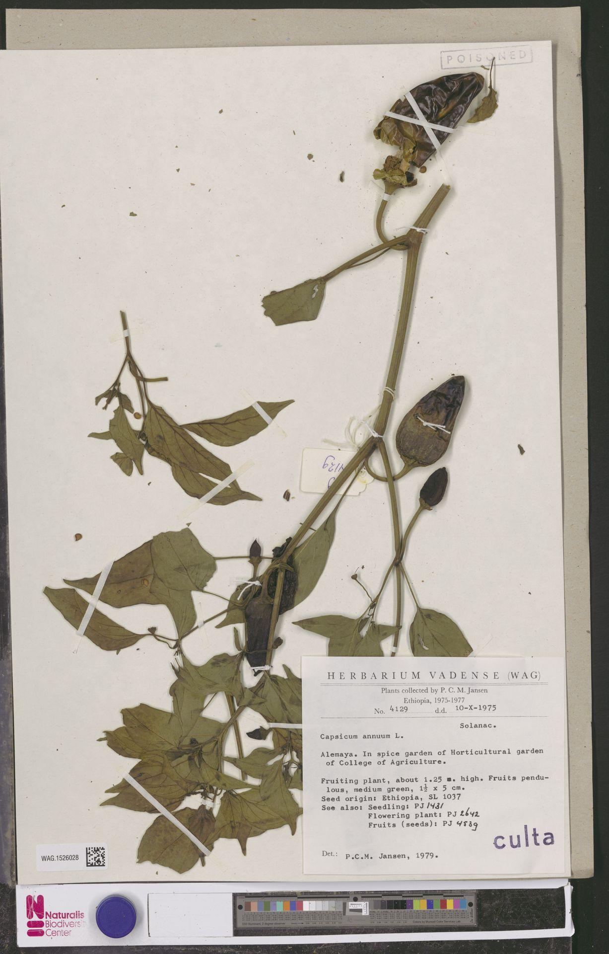 WAG.1526028 | Capsicum annuum L.