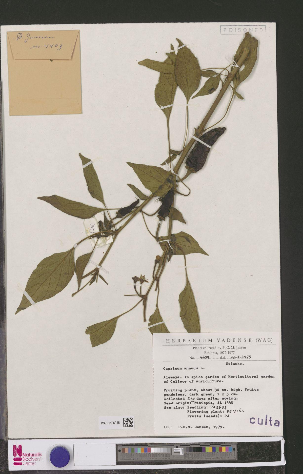 WAG.1526045 | Capsicum annuum L.