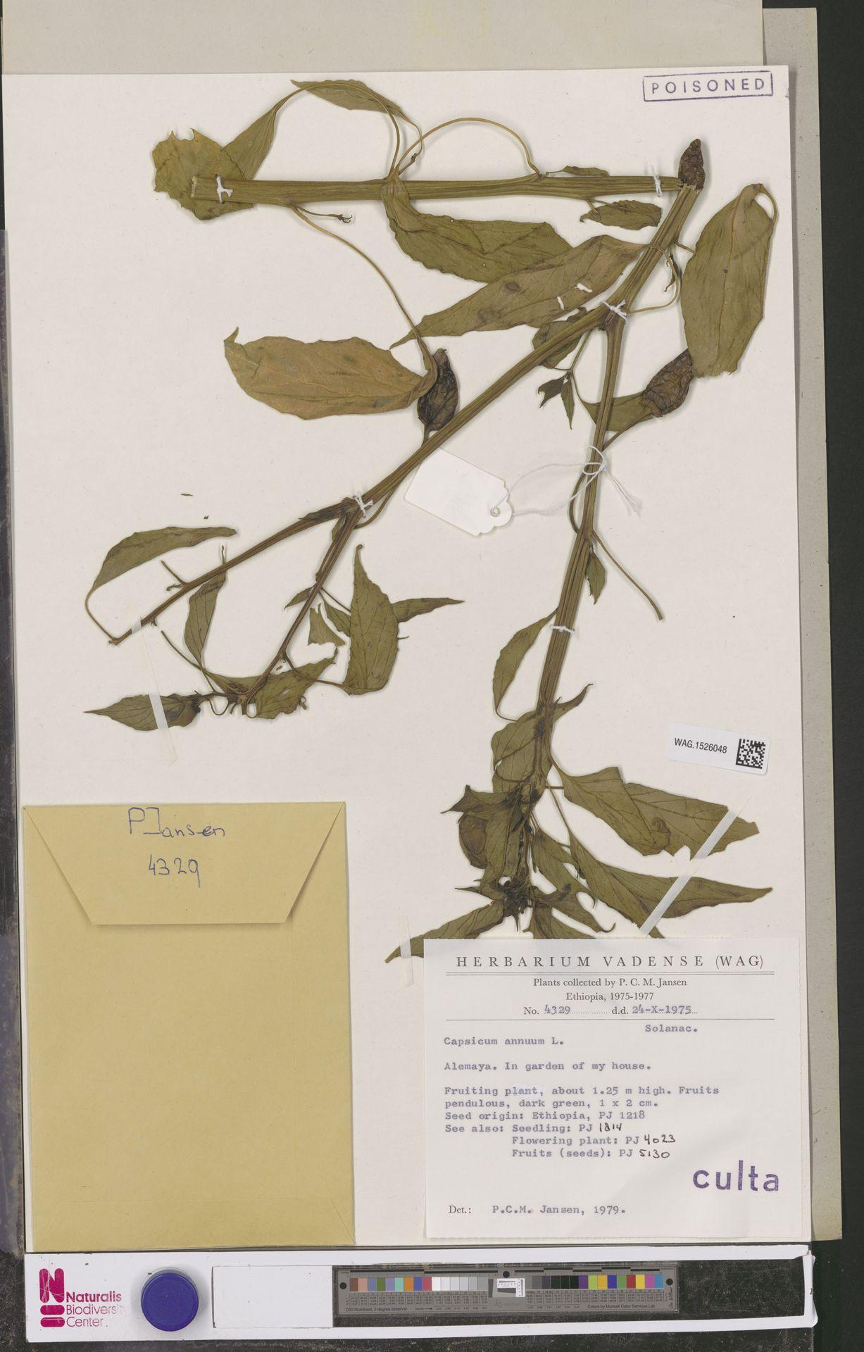 WAG.1526048 | Capsicum annuum L.