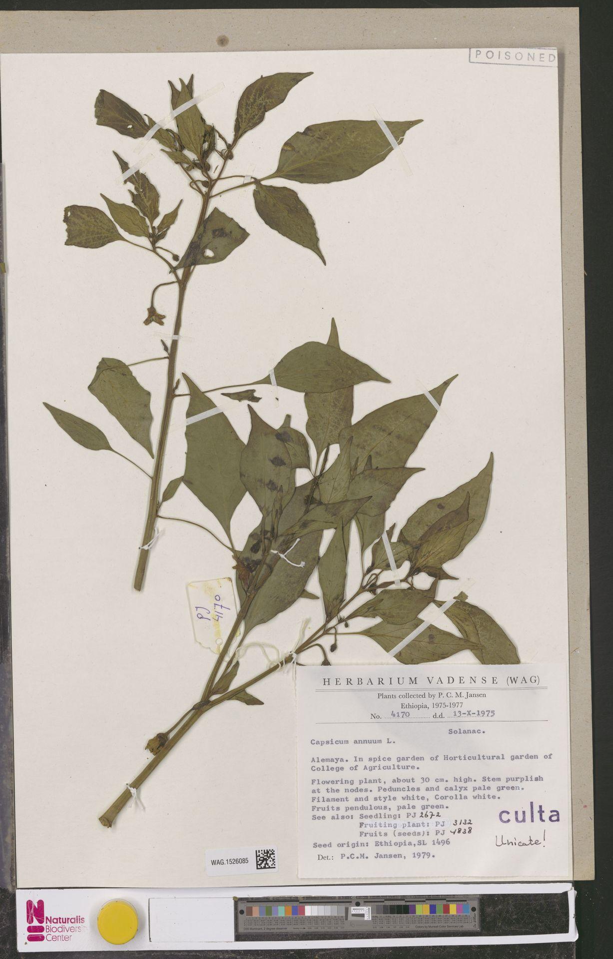 WAG.1526085 | Capsicum annuum L.
