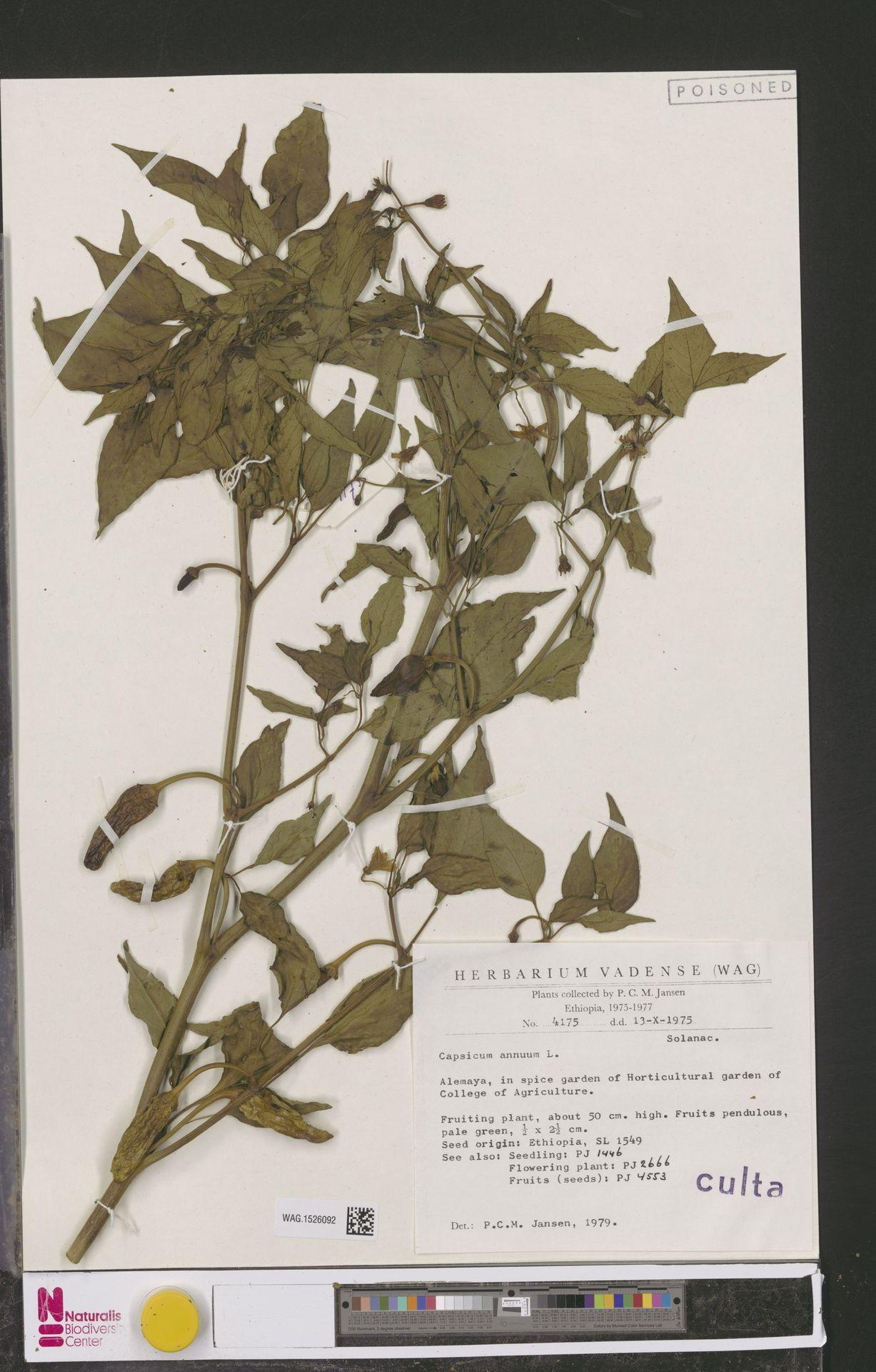 WAG.1526092 | Capsicum annuum L.