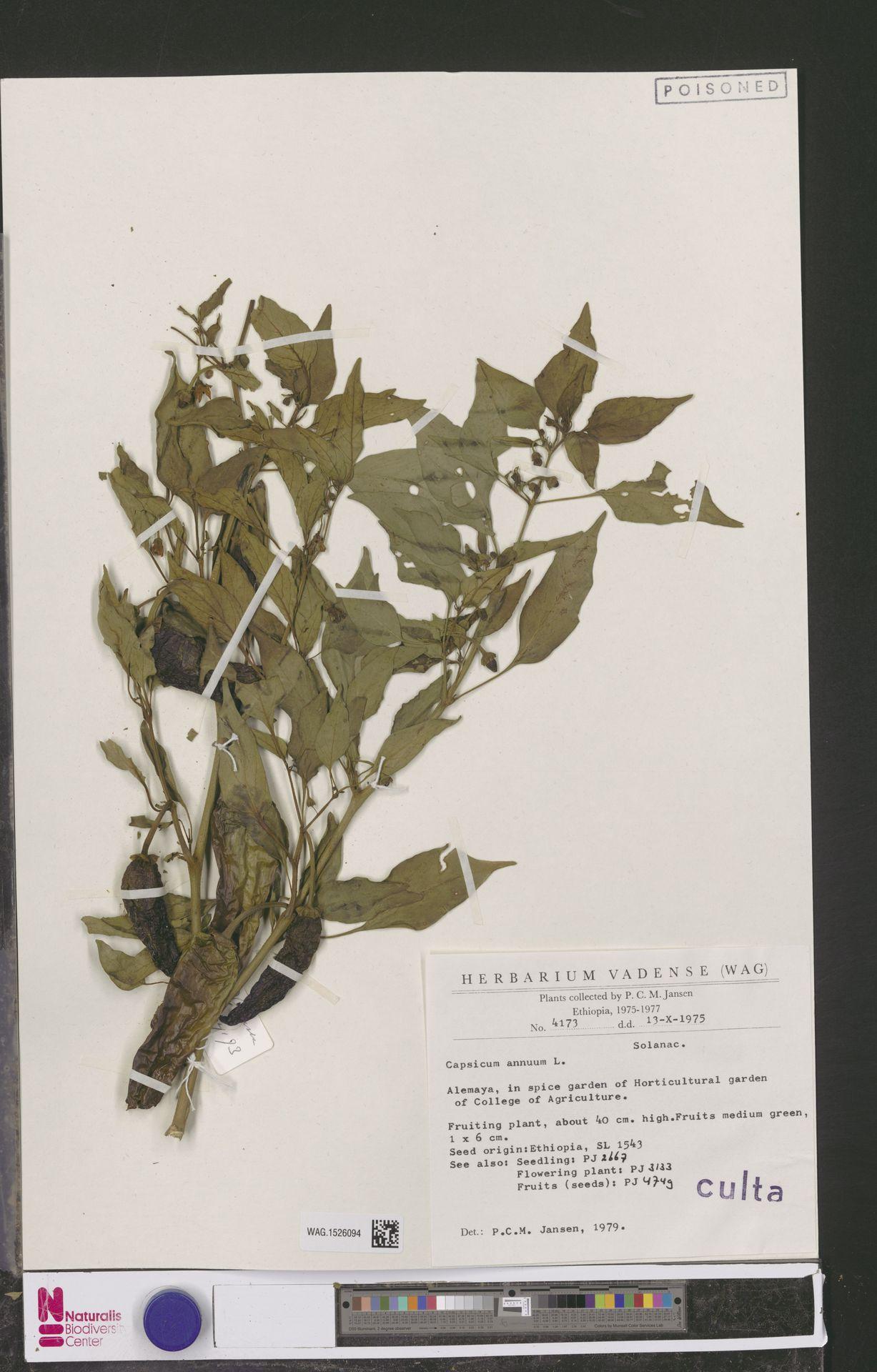 WAG.1526094 | Capsicum annuum L.