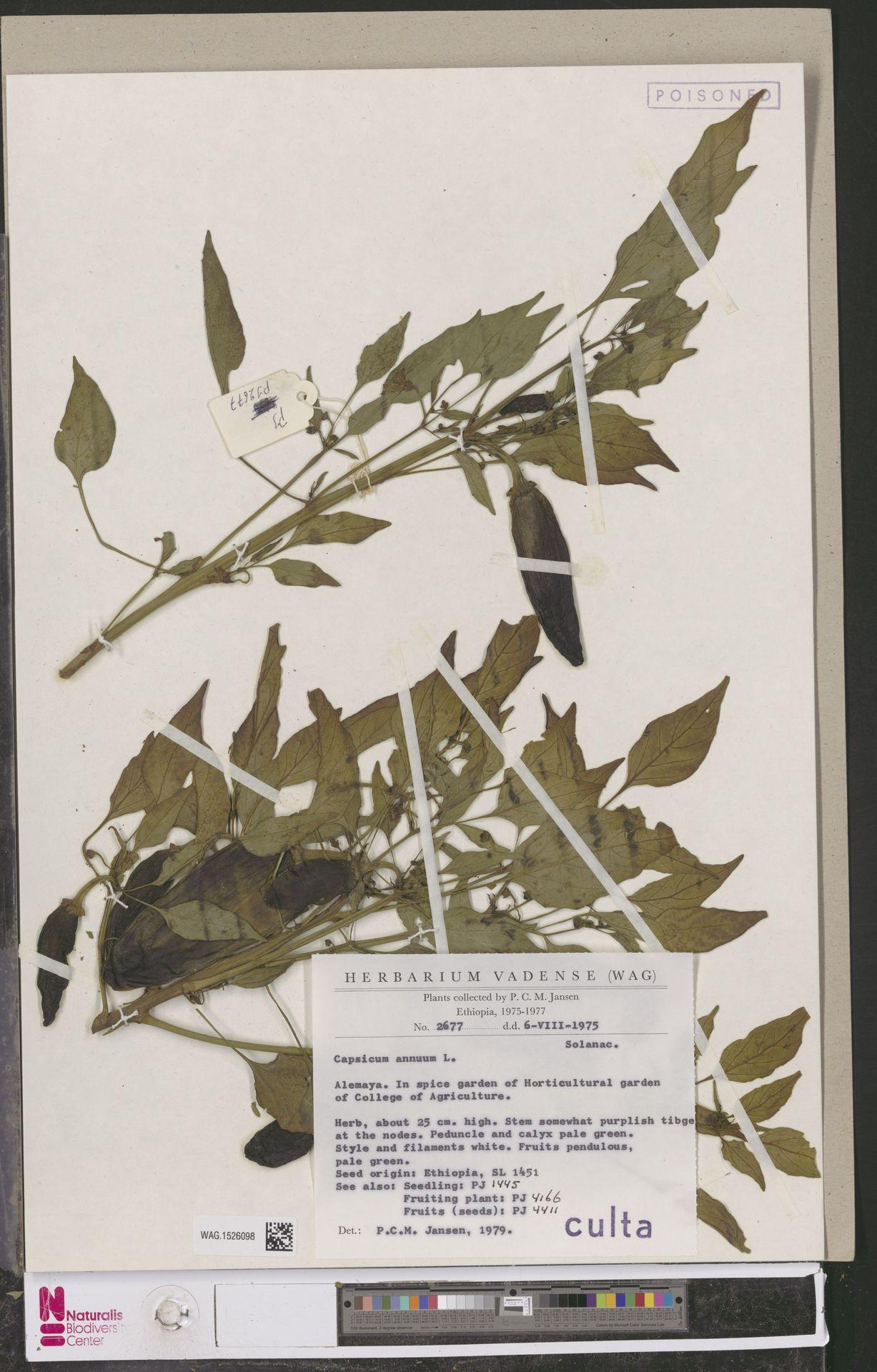 WAG.1526098 | Capsicum annuum L.