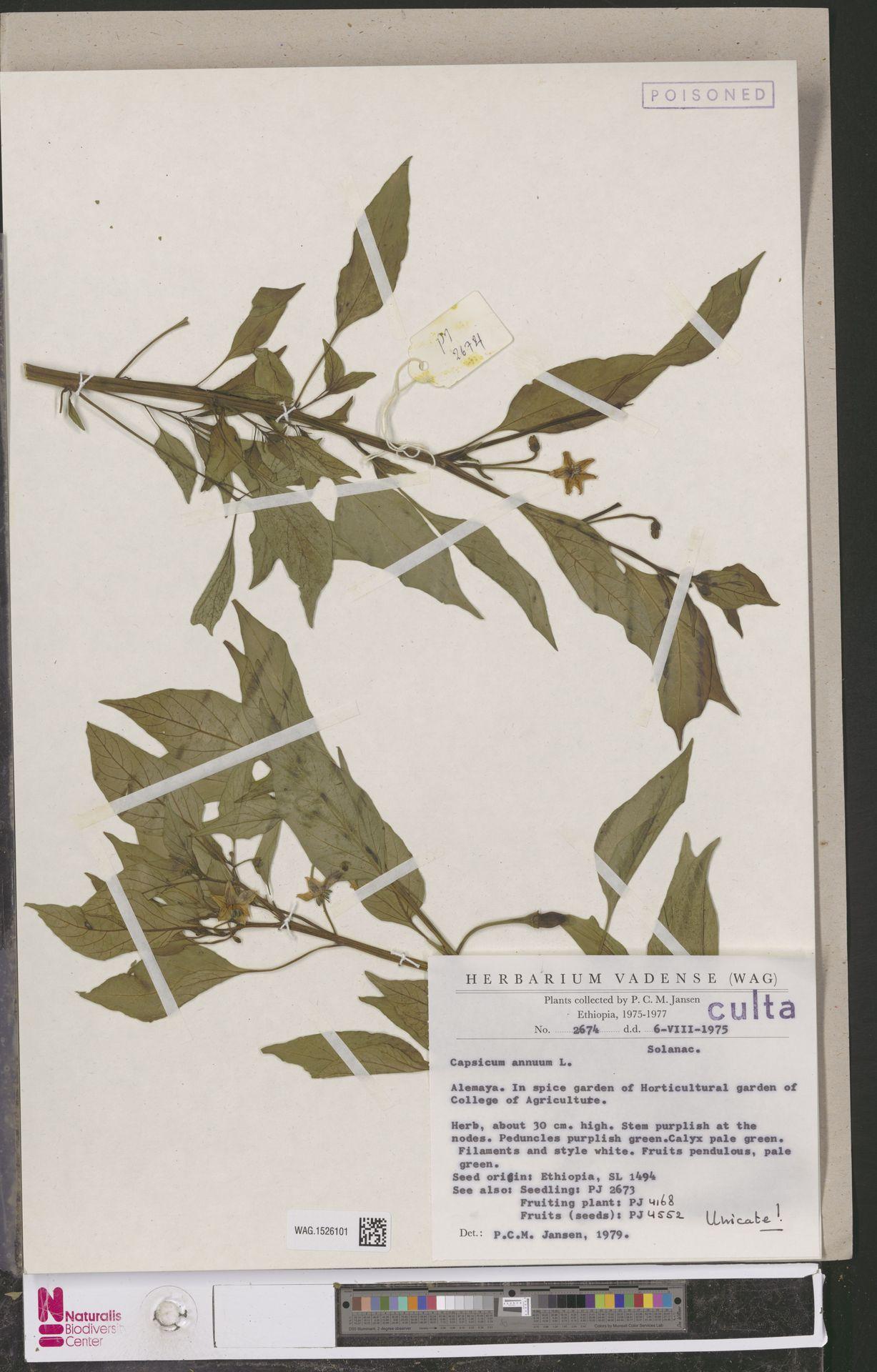 WAG.1526101 | Capsicum annuum L.