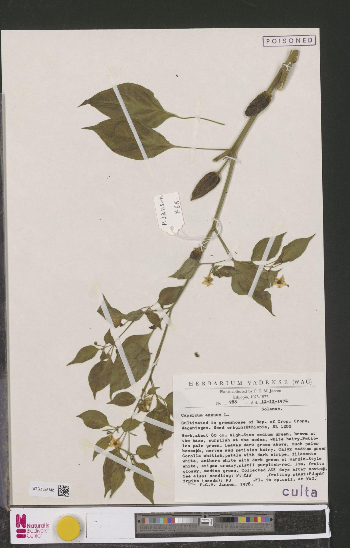 WAG.1526142 | Capsicum annuum L.