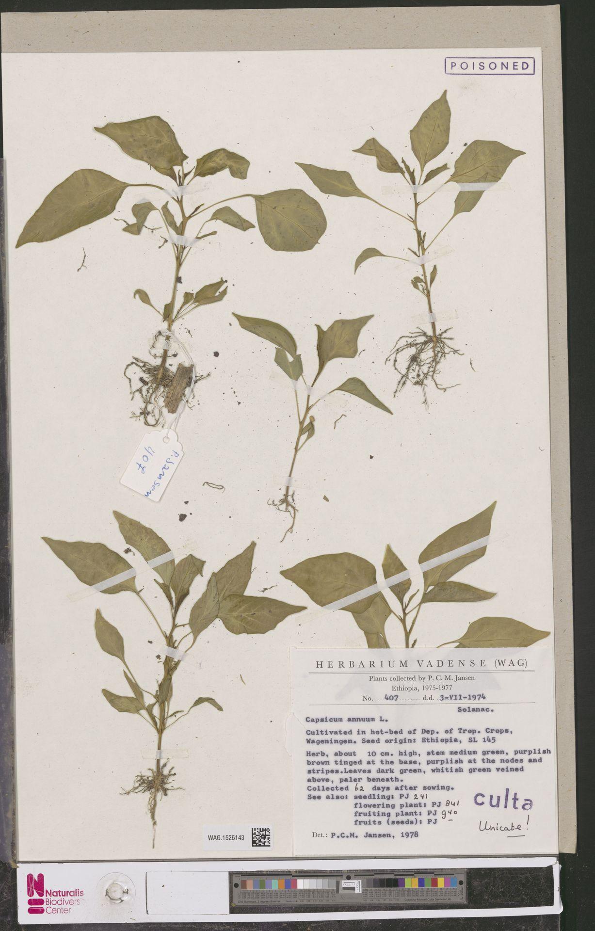 WAG.1526143 | Capsicum annuum L.