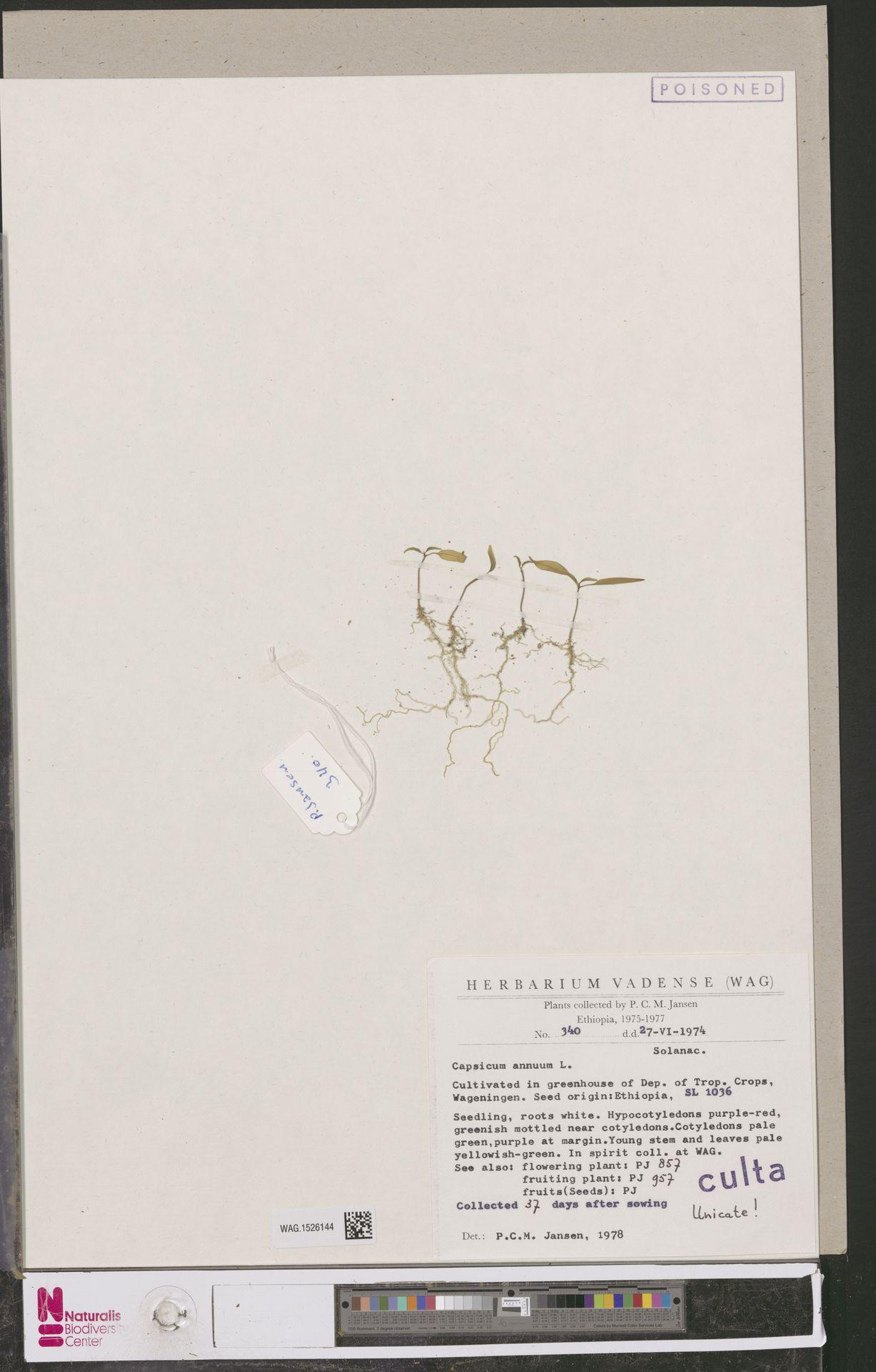 WAG.1526144 | Capsicum annuum L.