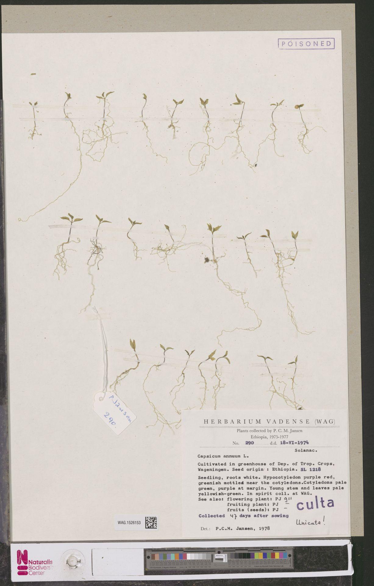 WAG.1526153 | Capsicum annuum L.