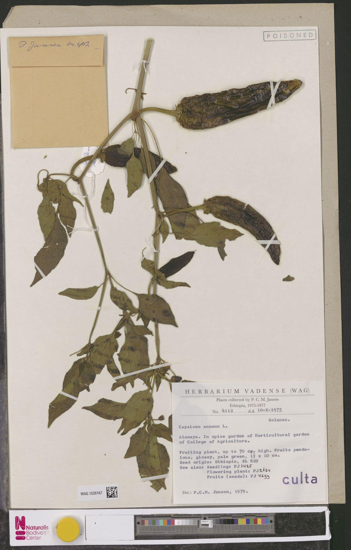 WAG.1526167 | Capsicum annuum L.