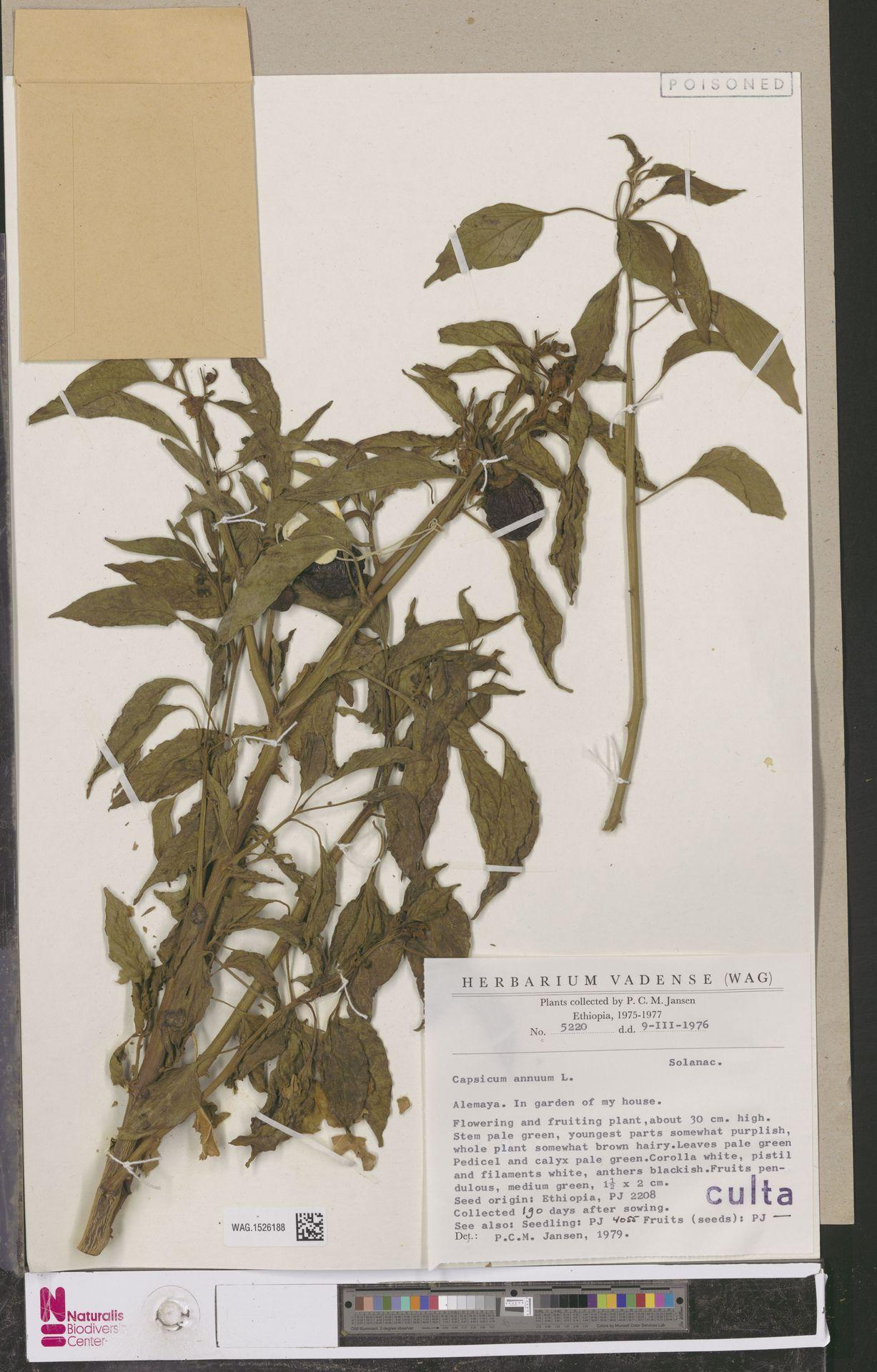 WAG.1526188 | Capsicum annuum L.