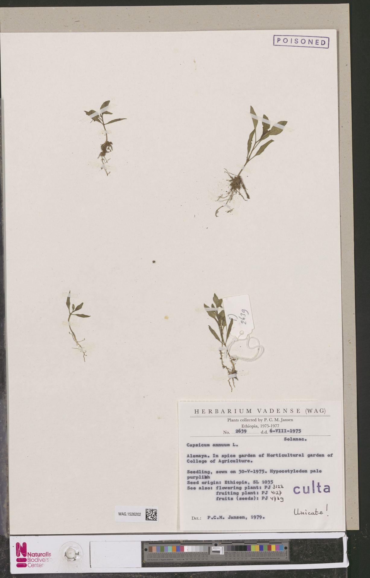 WAG.1526202 | Capsicum annuum L.
