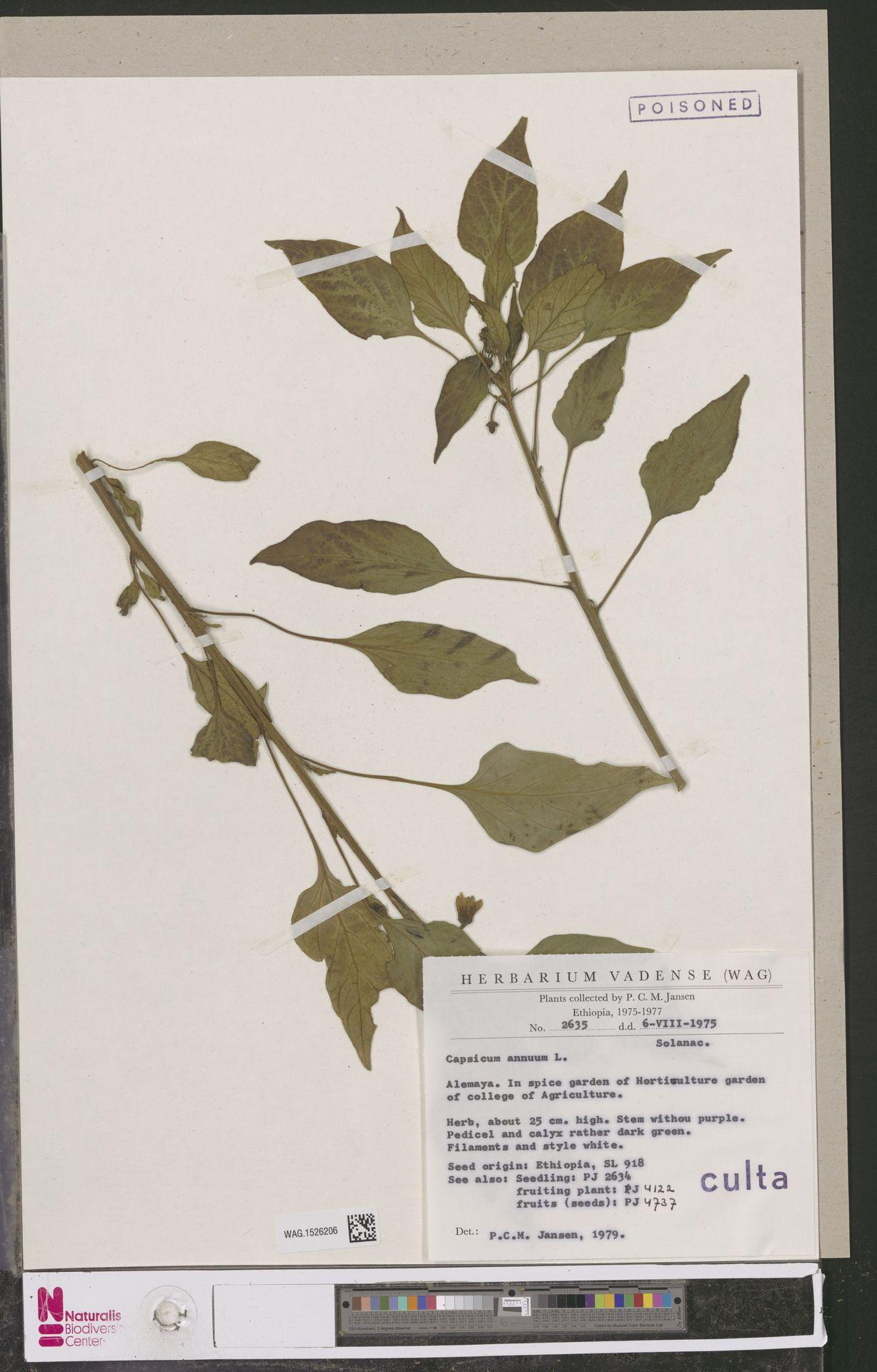 WAG.1526206 | Capsicum annuum L.