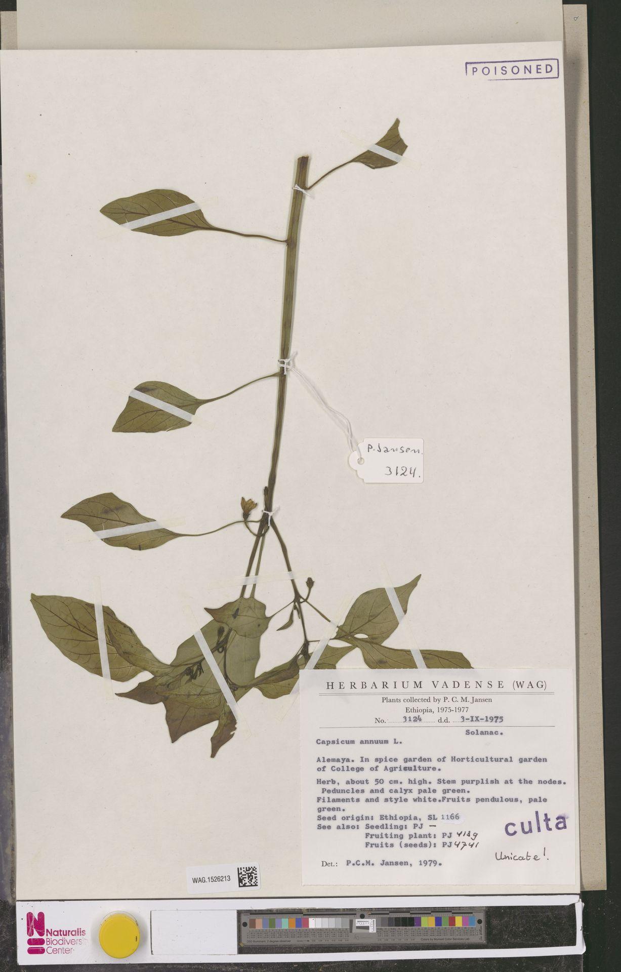 WAG.1526213 | Capsicum annuum L.