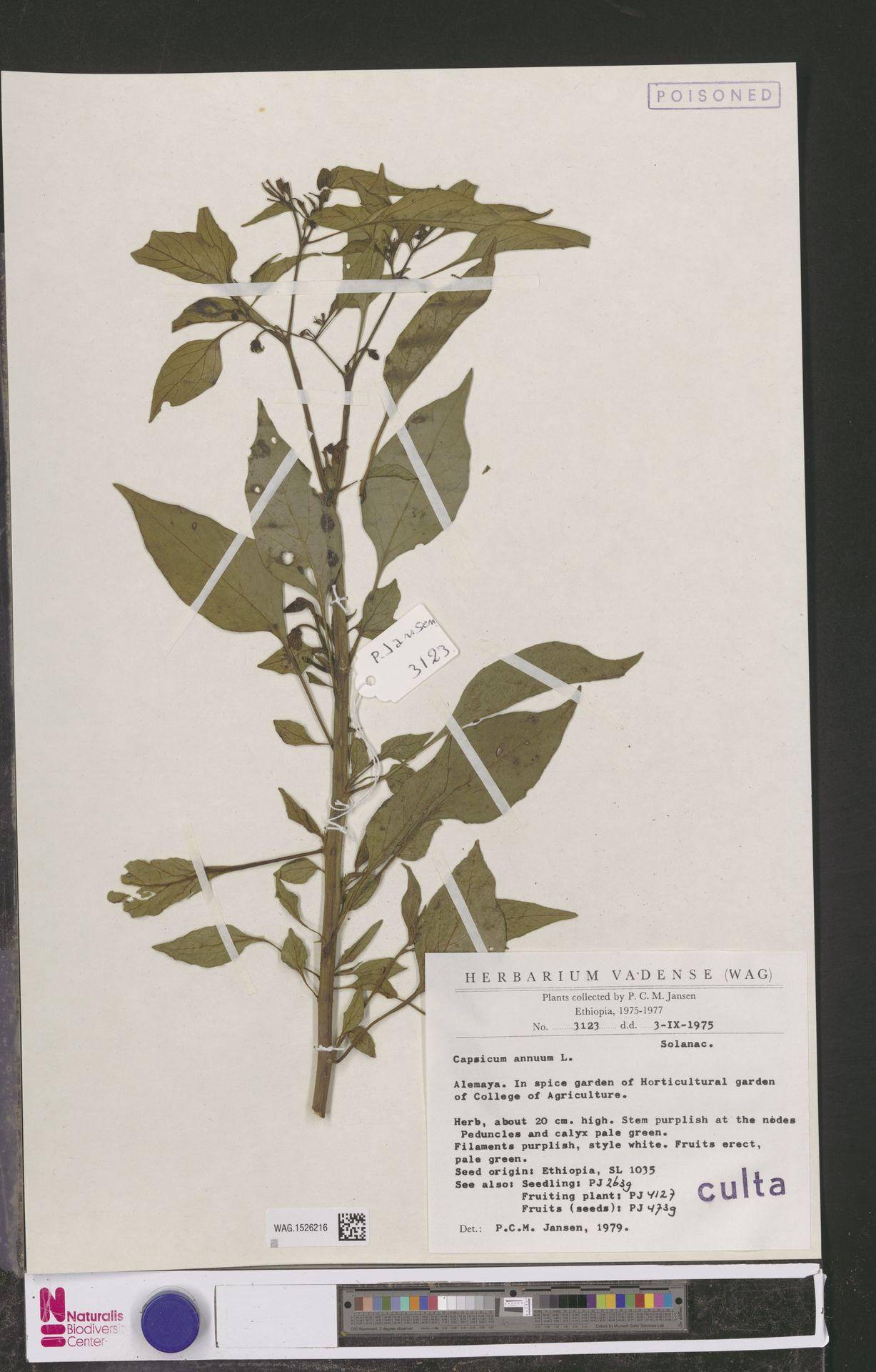 WAG.1526216 | Capsicum annuum L.