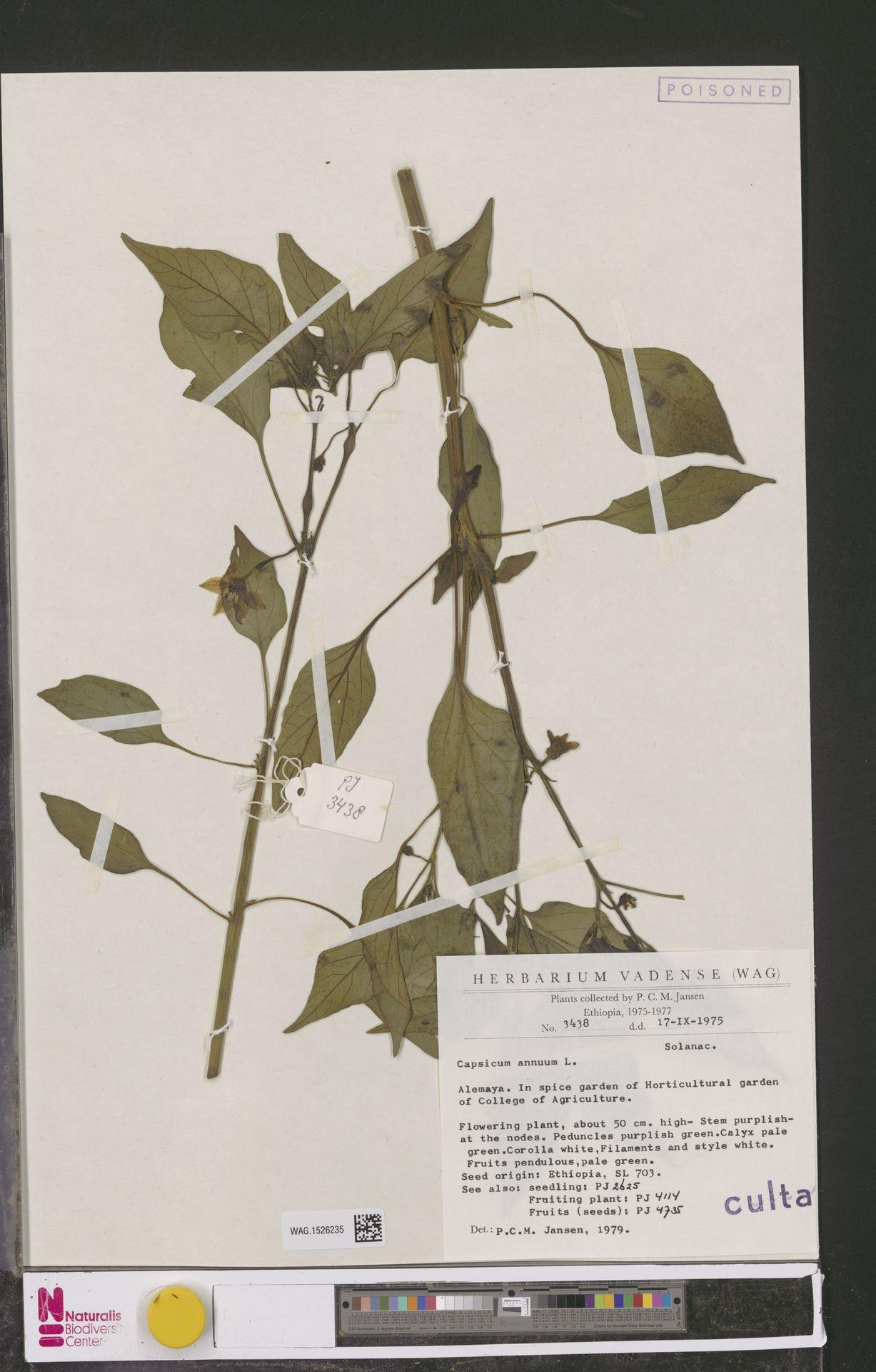 WAG.1526235 | Capsicum annuum L.