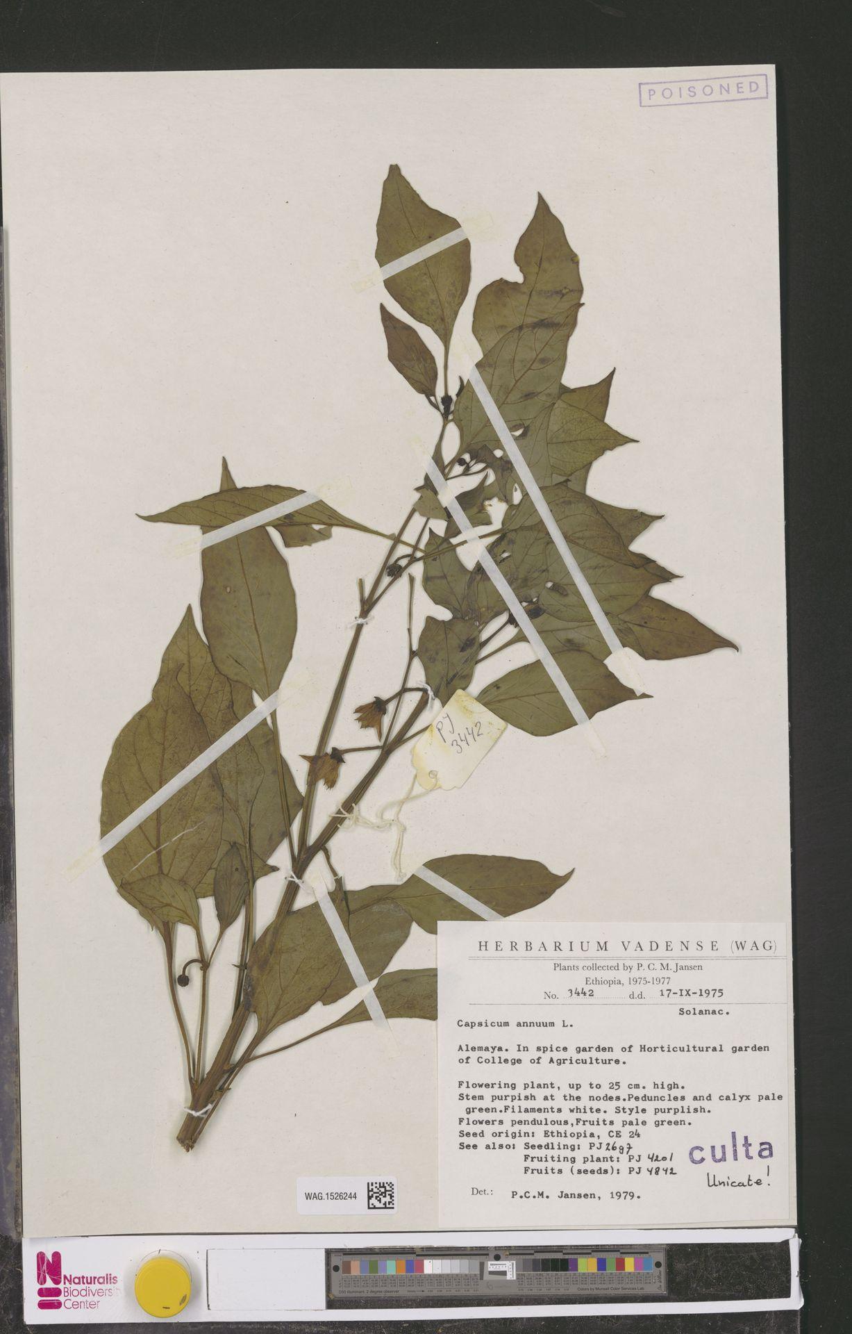 WAG.1526244 | Capsicum annuum L.
