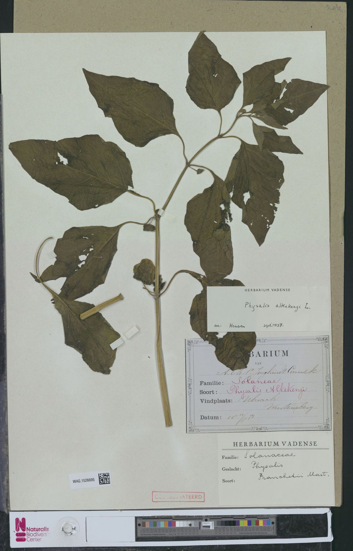 WAG.1526695 | Physalis alkekengi L.