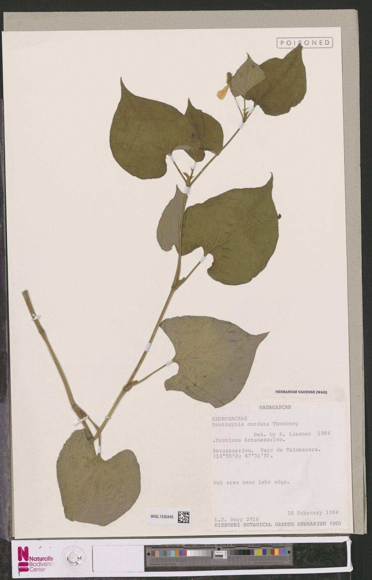 WAG.1530445 | Houttuynia cordata Thunb.