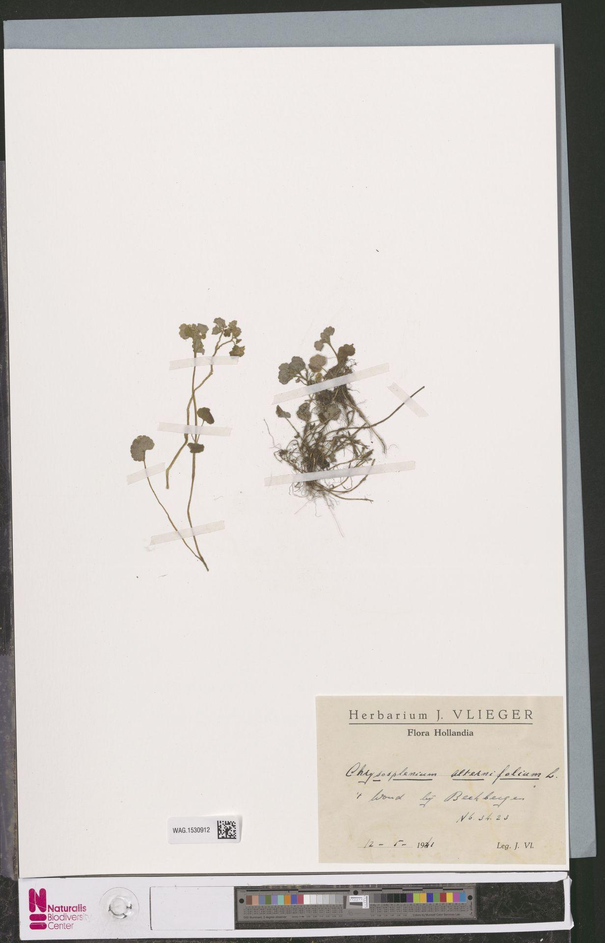 WAG.1530912 | Chrysosplenium alternifolium L.