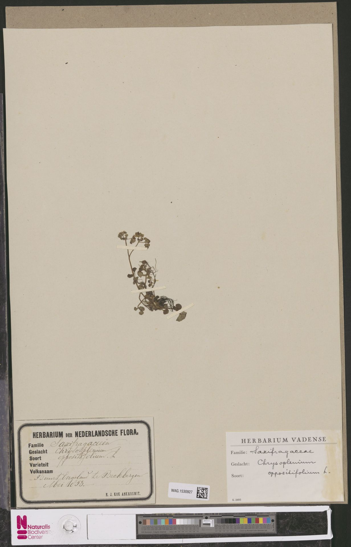 WAG.1530927 | Chrysosplenium oppositifolium L.