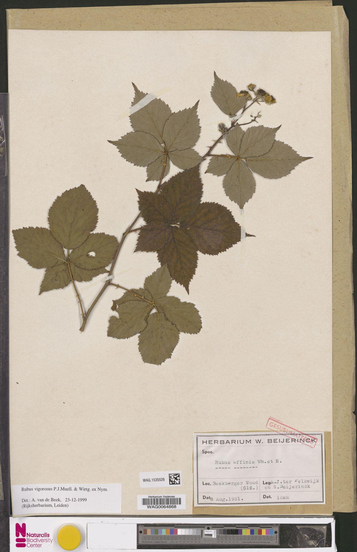WAG.1535526 | Rubus vigorosus P.J.Müll. & Wirtg. ex Nyman