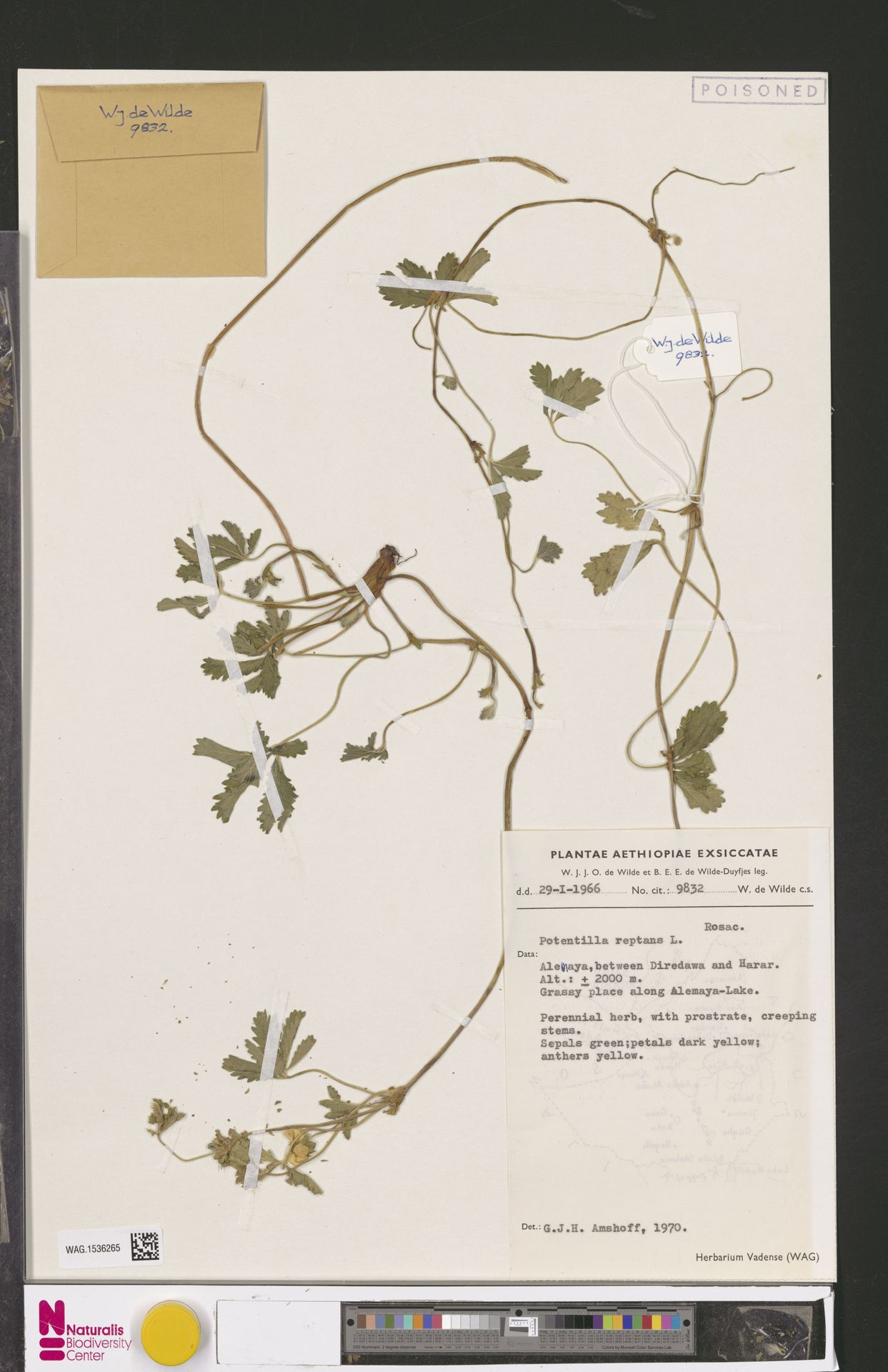 WAG.1536265   Potentilla reptans L.