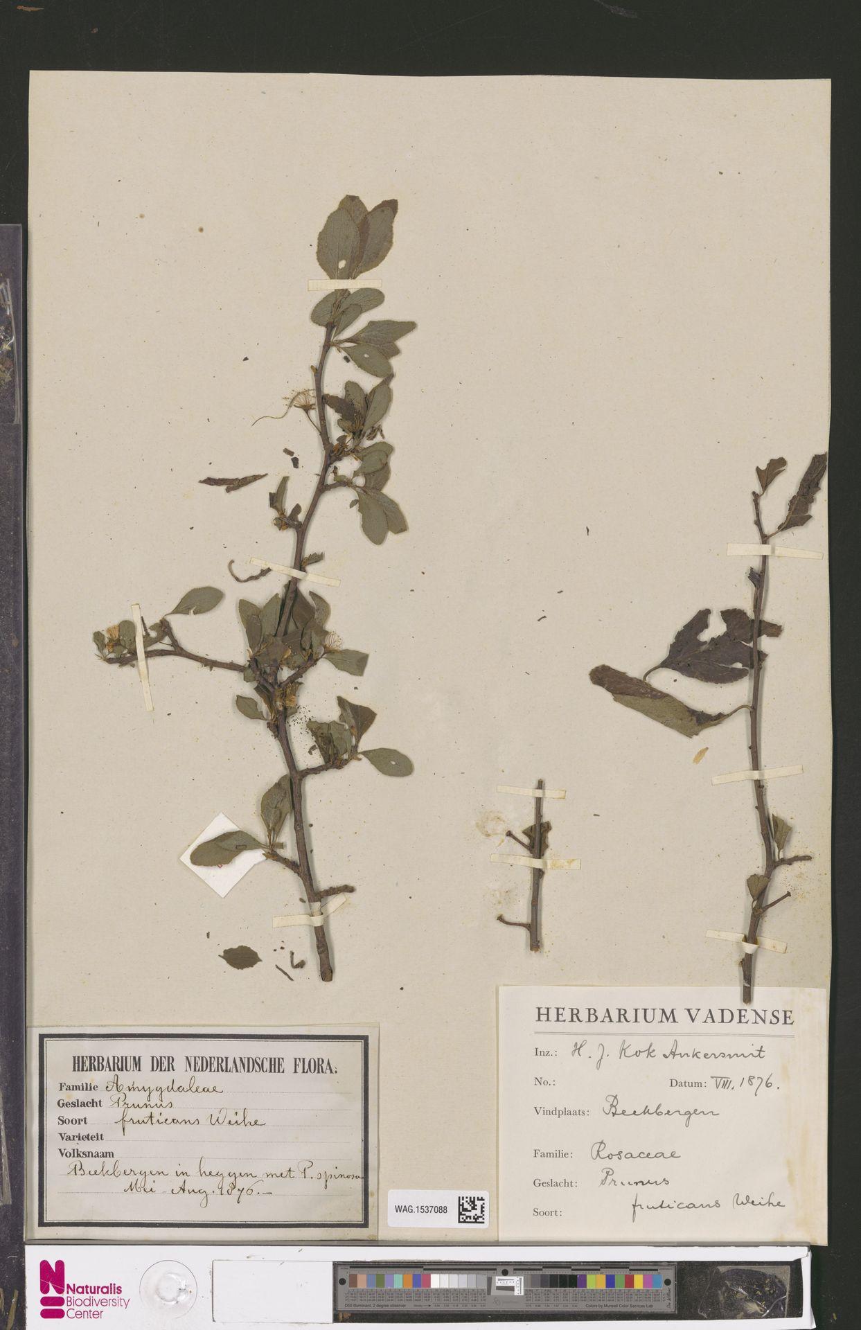 WAG.1537088 | Prunus ×fruticans Weihe
