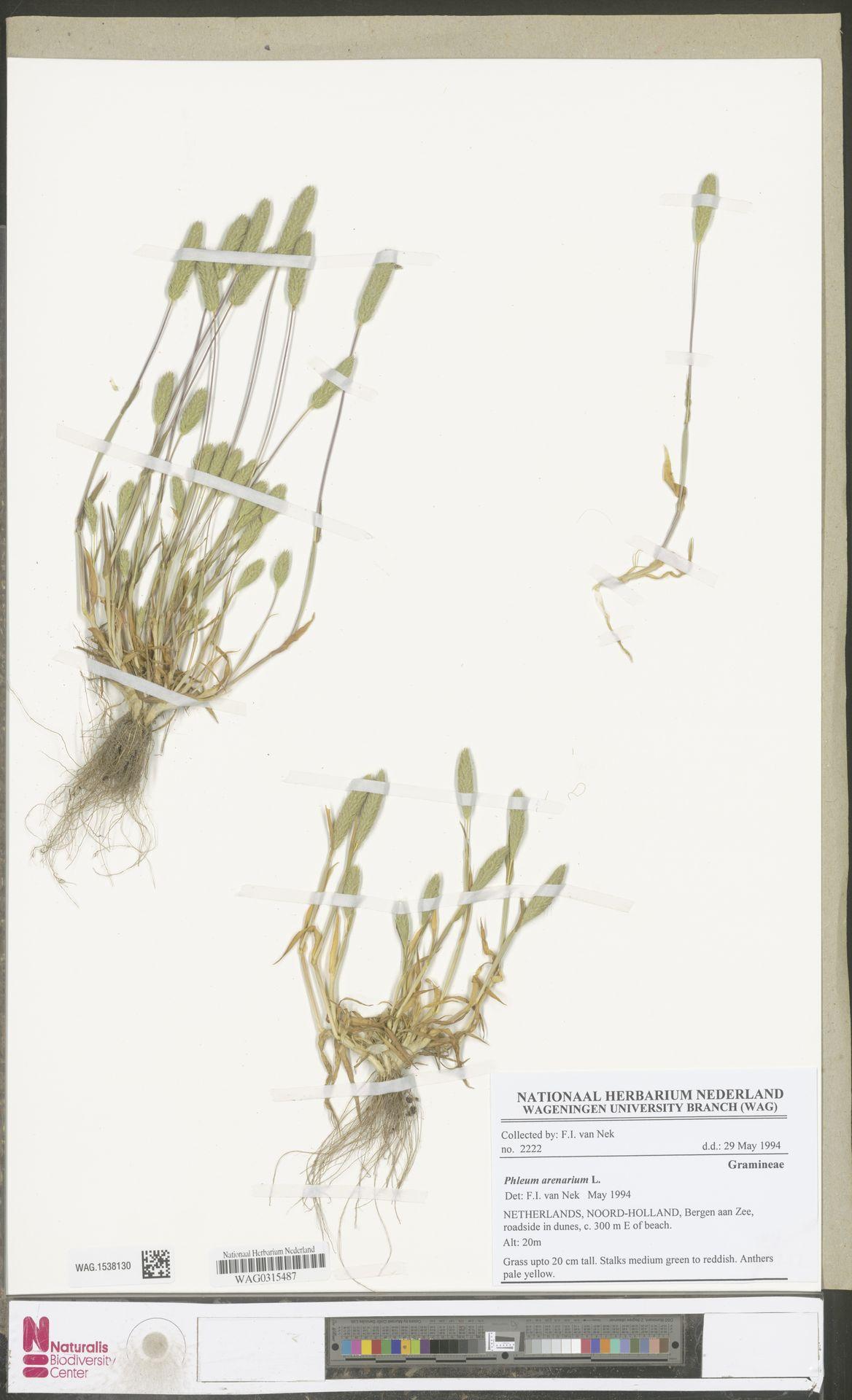 WAG.1538130 | Phleum arenarium L.