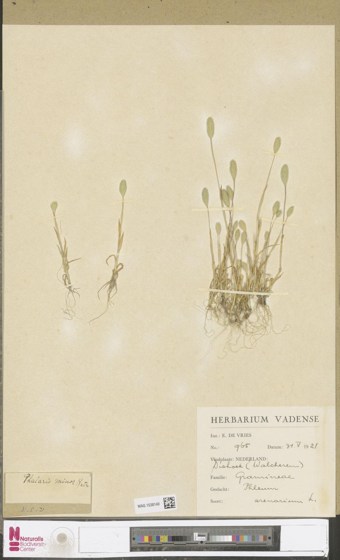 WAG.1538140 | Phleum arenarium L.