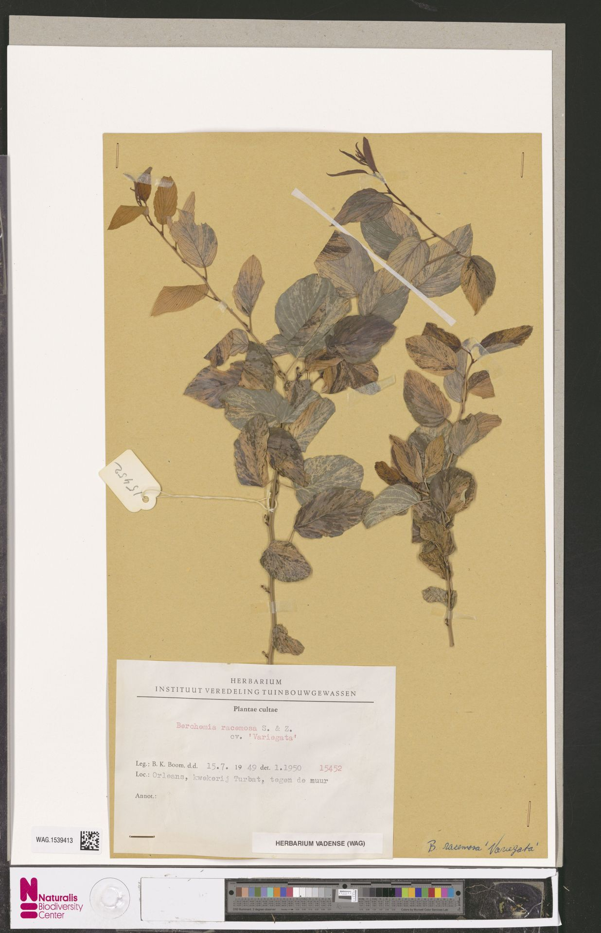 WAG.1539413 | Berchemia racemosa cv. 'Variegata'