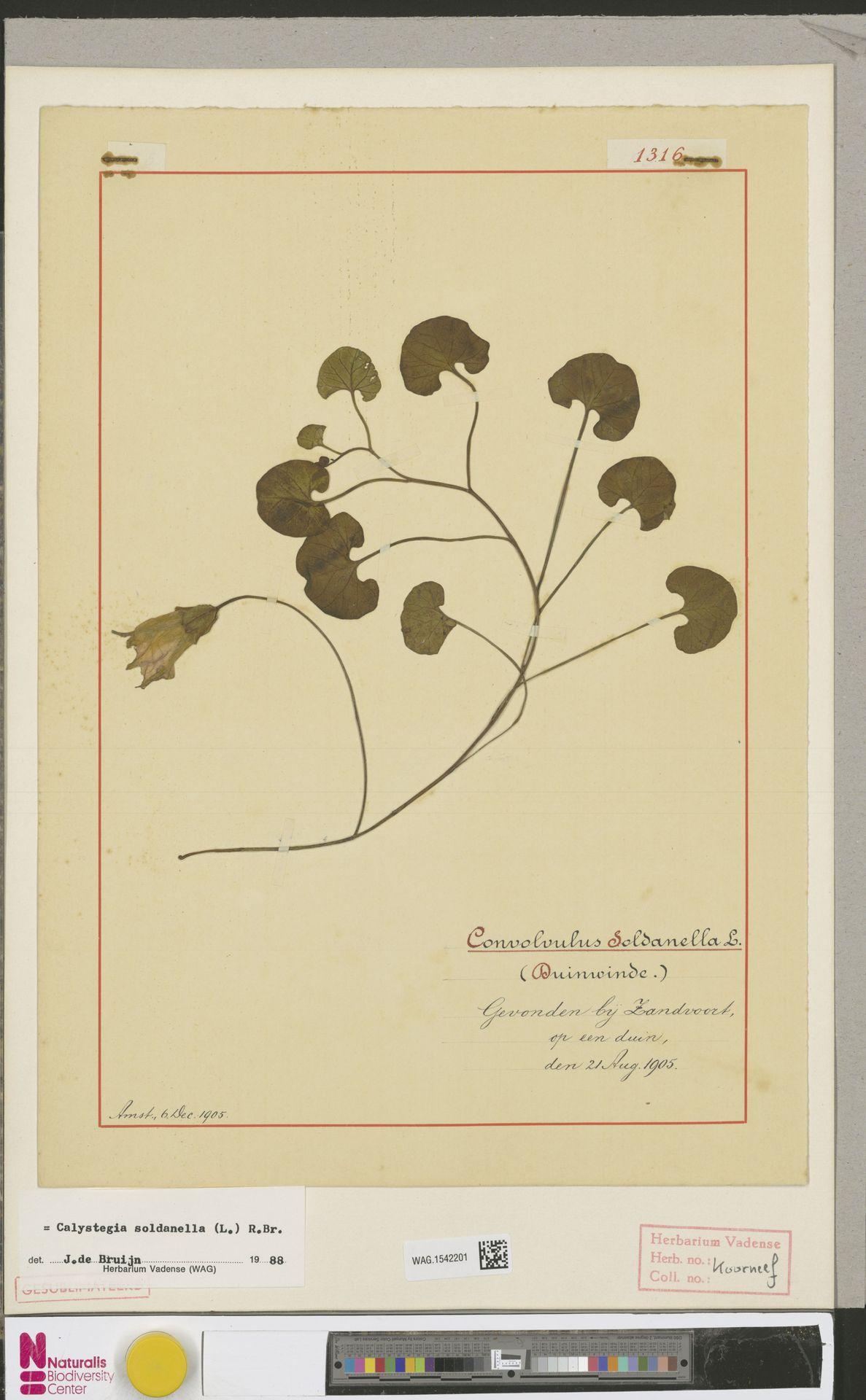 WAG.1542201 | Calystegia soldanella (L.) R.Br.
