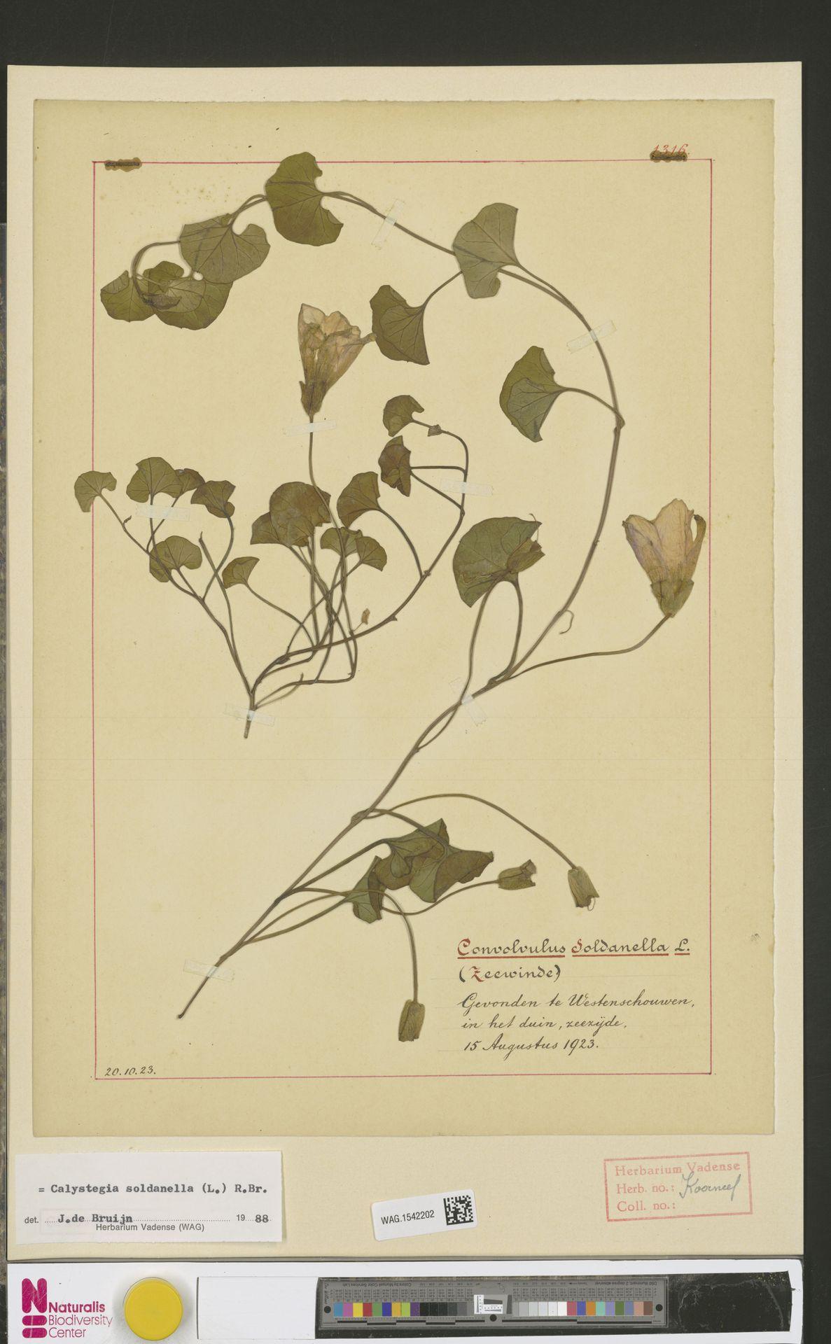 WAG.1542202 | Calystegia soldanella (L.) R.Br.