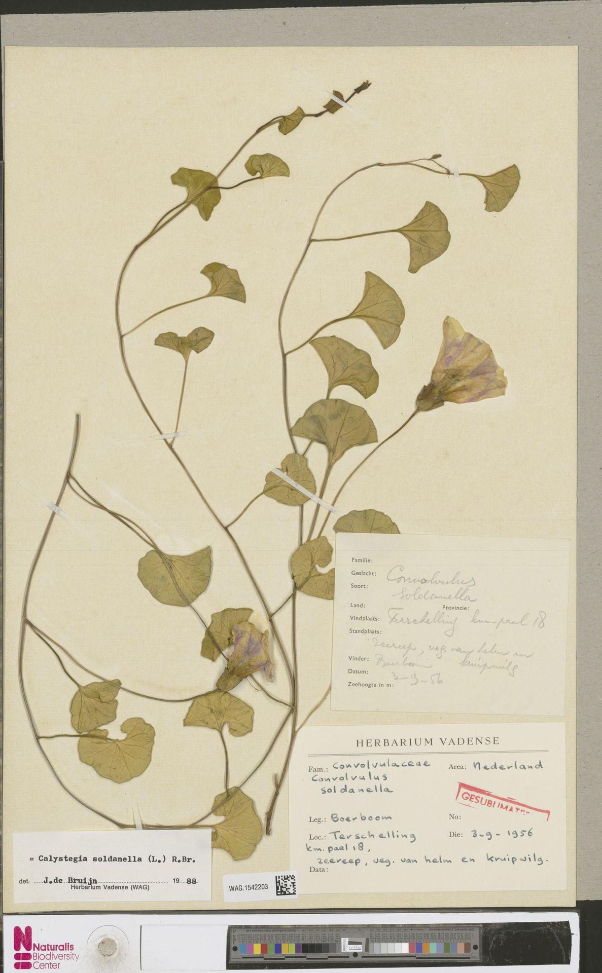 WAG.1542203   Calystegia soldanella (L.) R.Br.